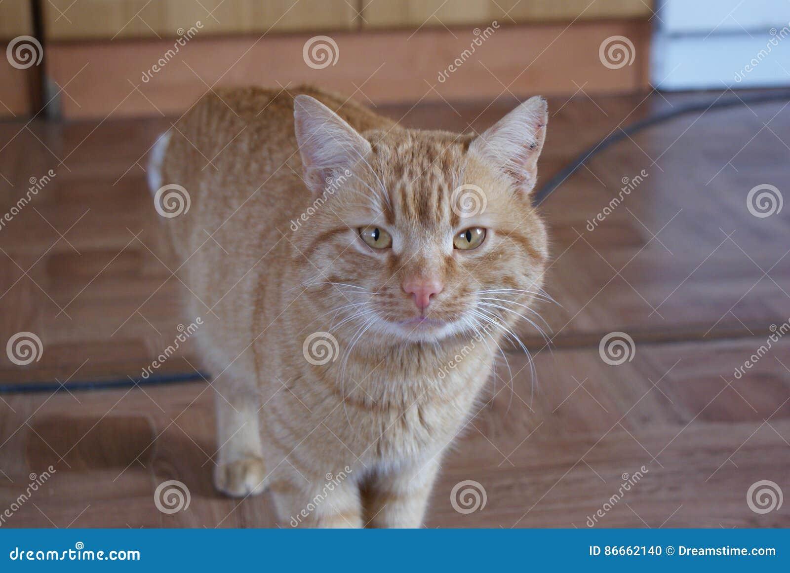Кто такой каштановый кот