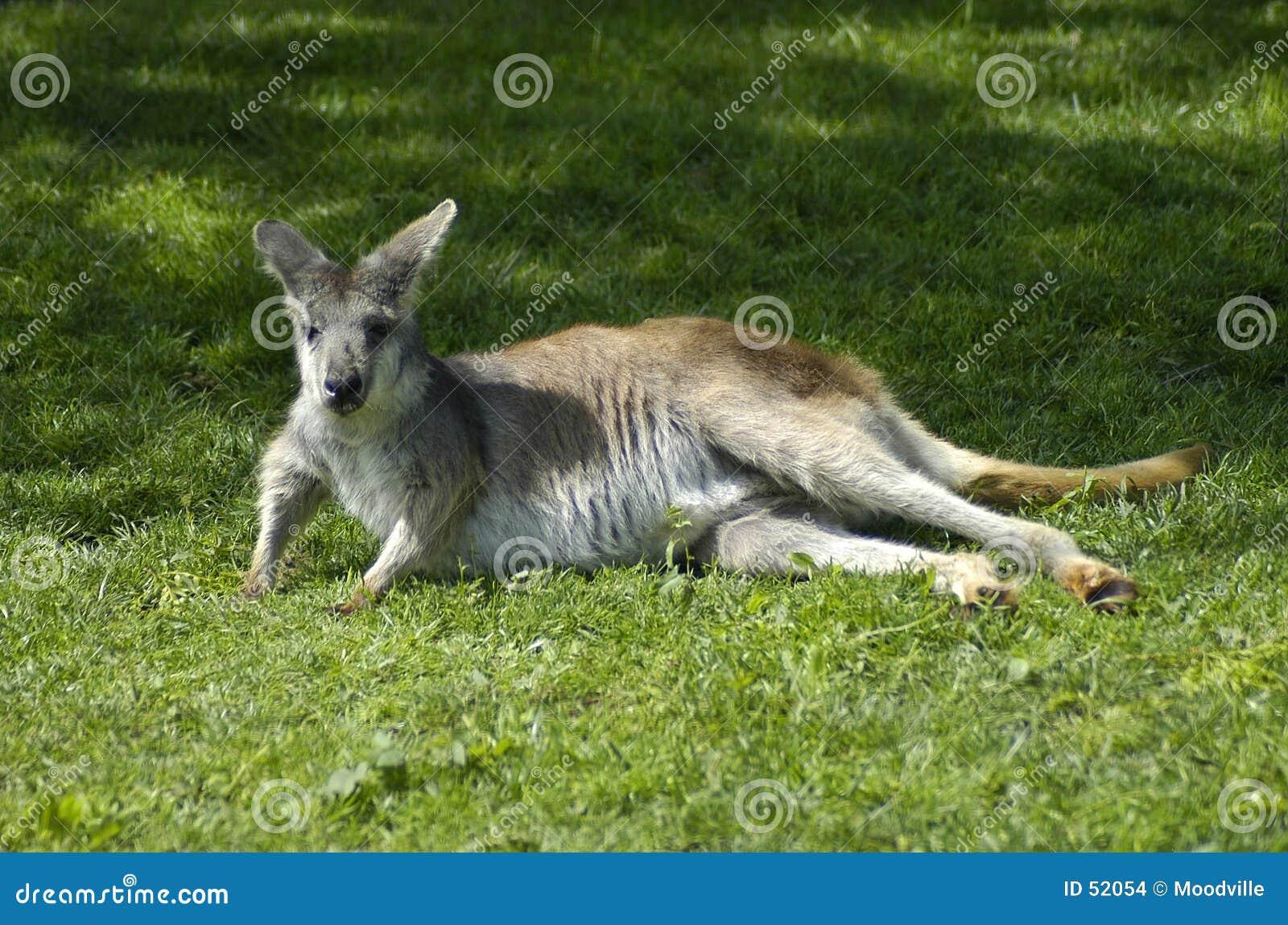 кенгуру lounging