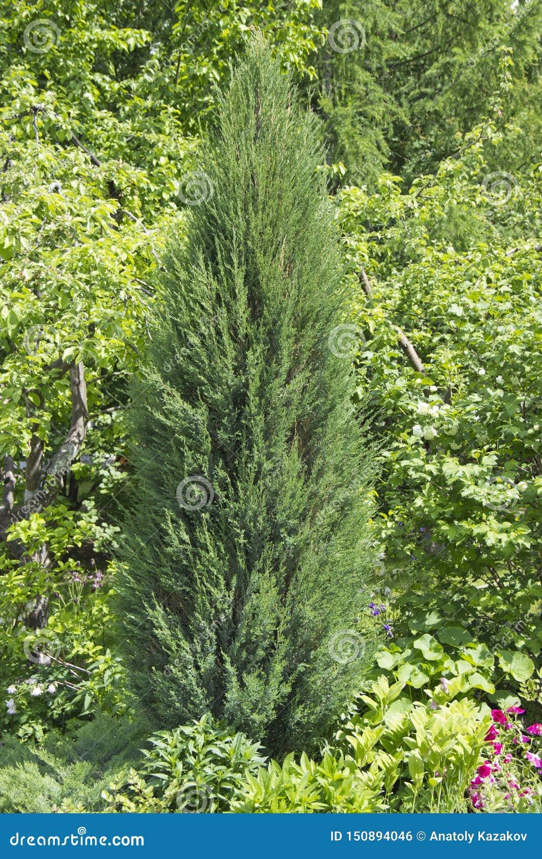 Кипарис род вечнозеленых деревьев и кустарников семьи Cypress с pyramidal или распространяя кроной