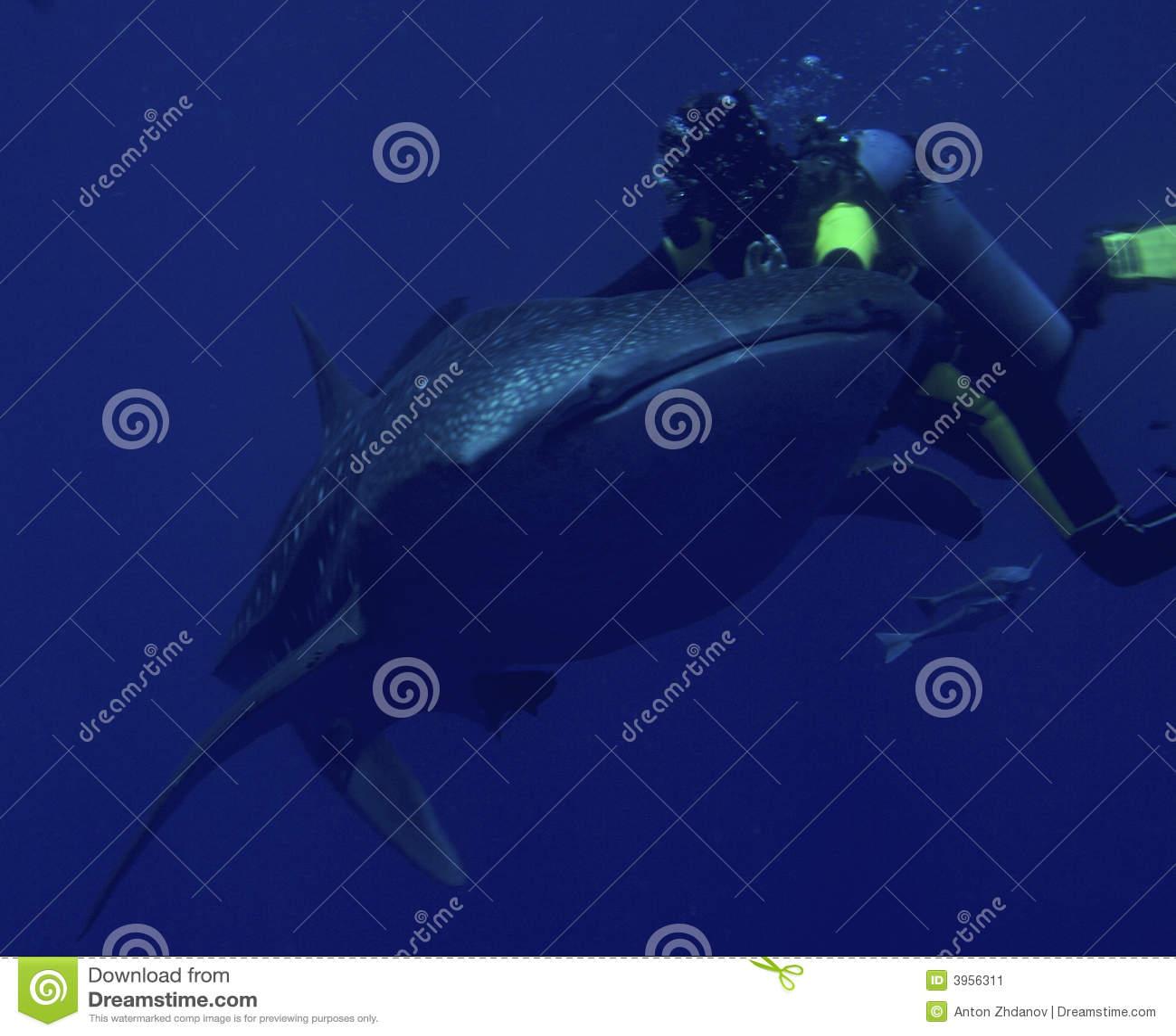 кит акулы водолаза