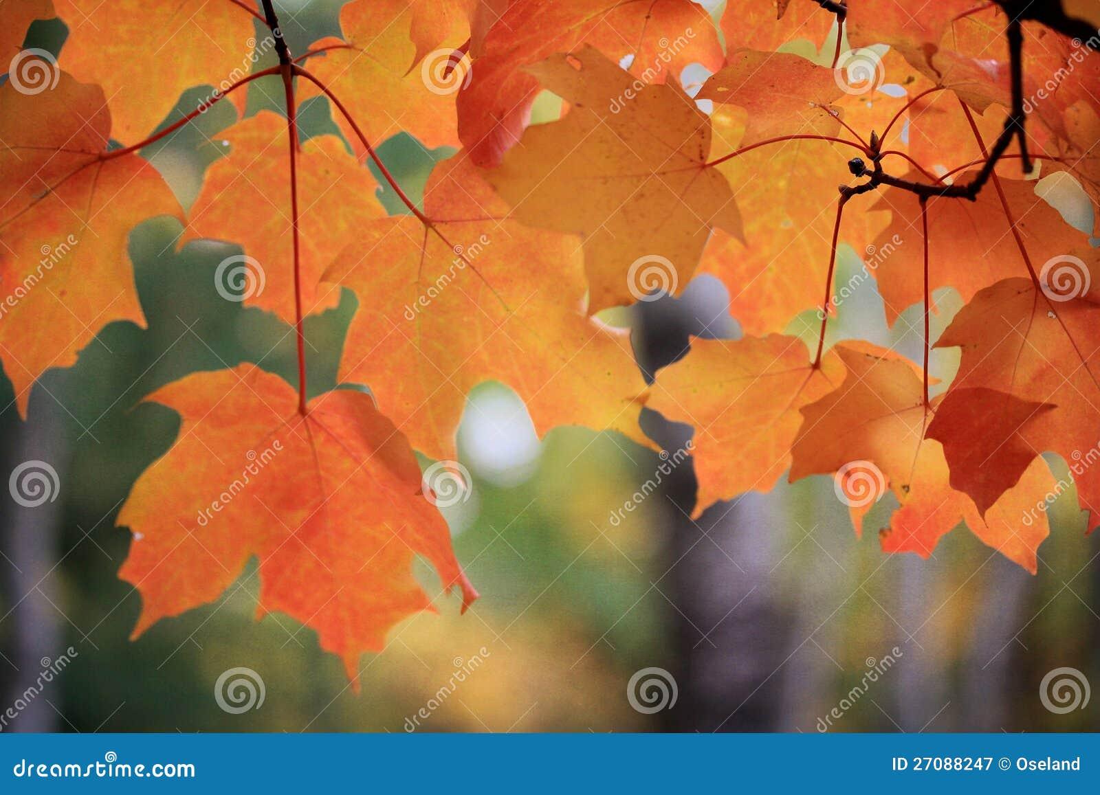 Кленовые листы в падении