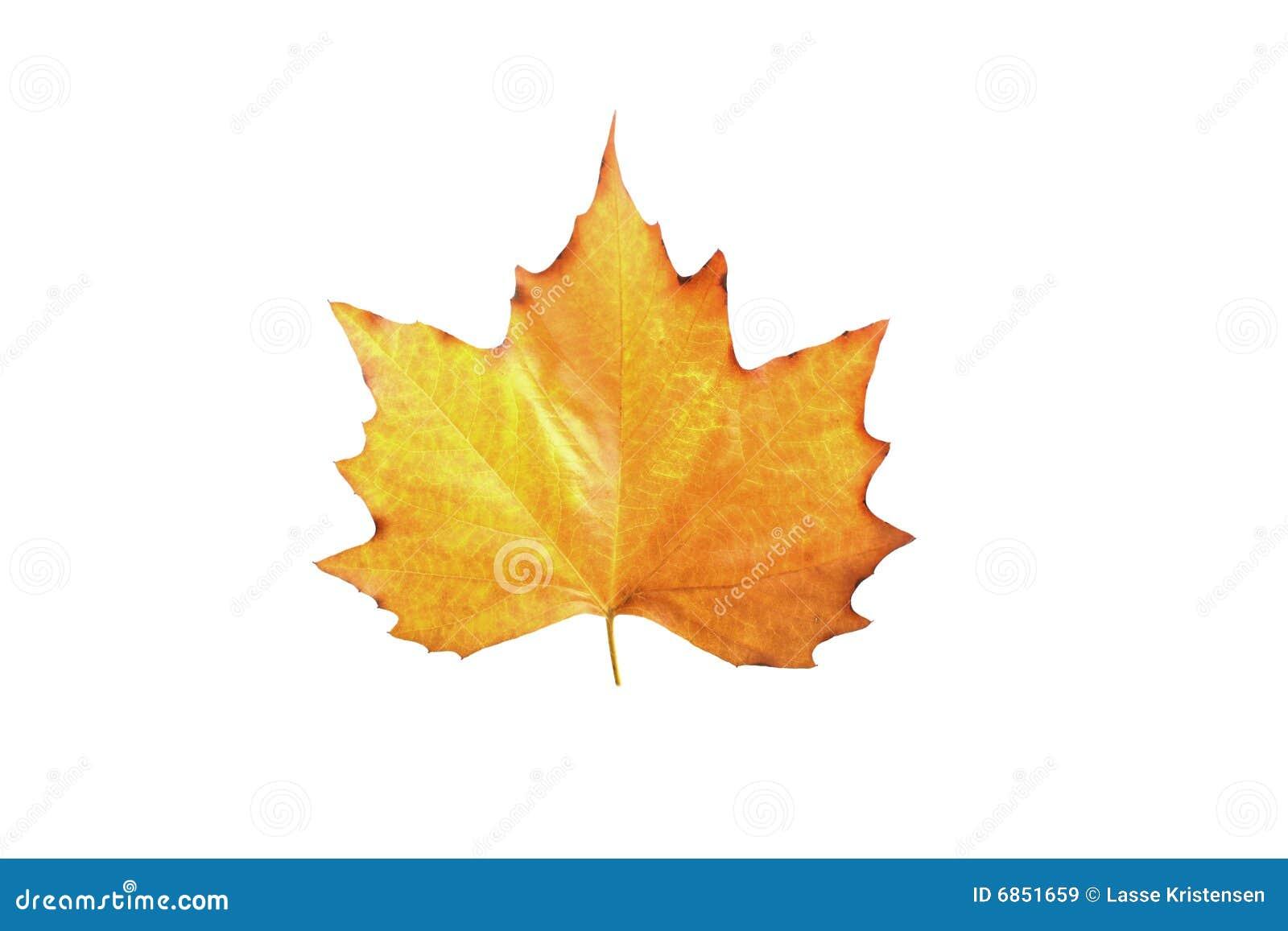 клен листьев