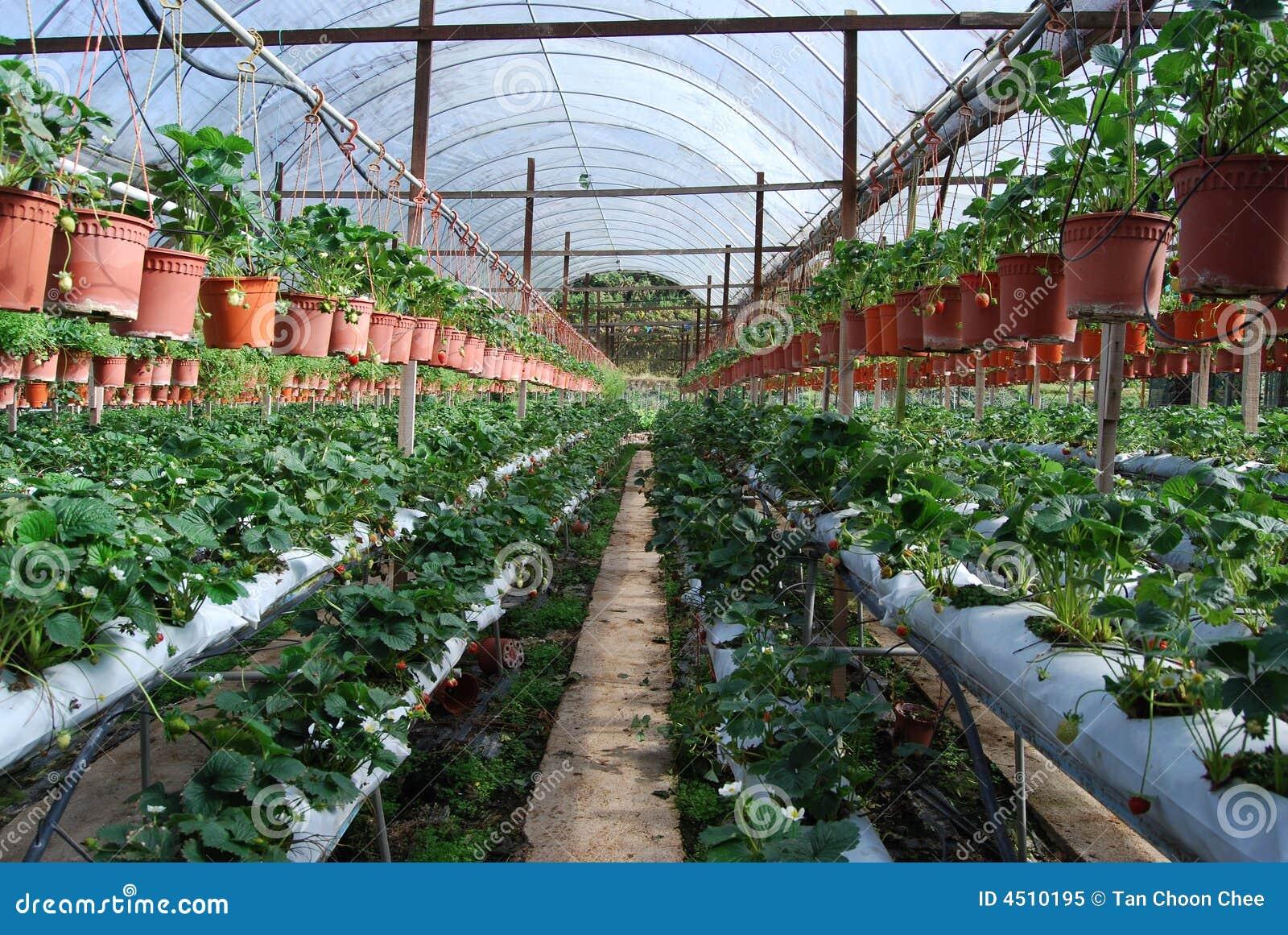 клубника фермы