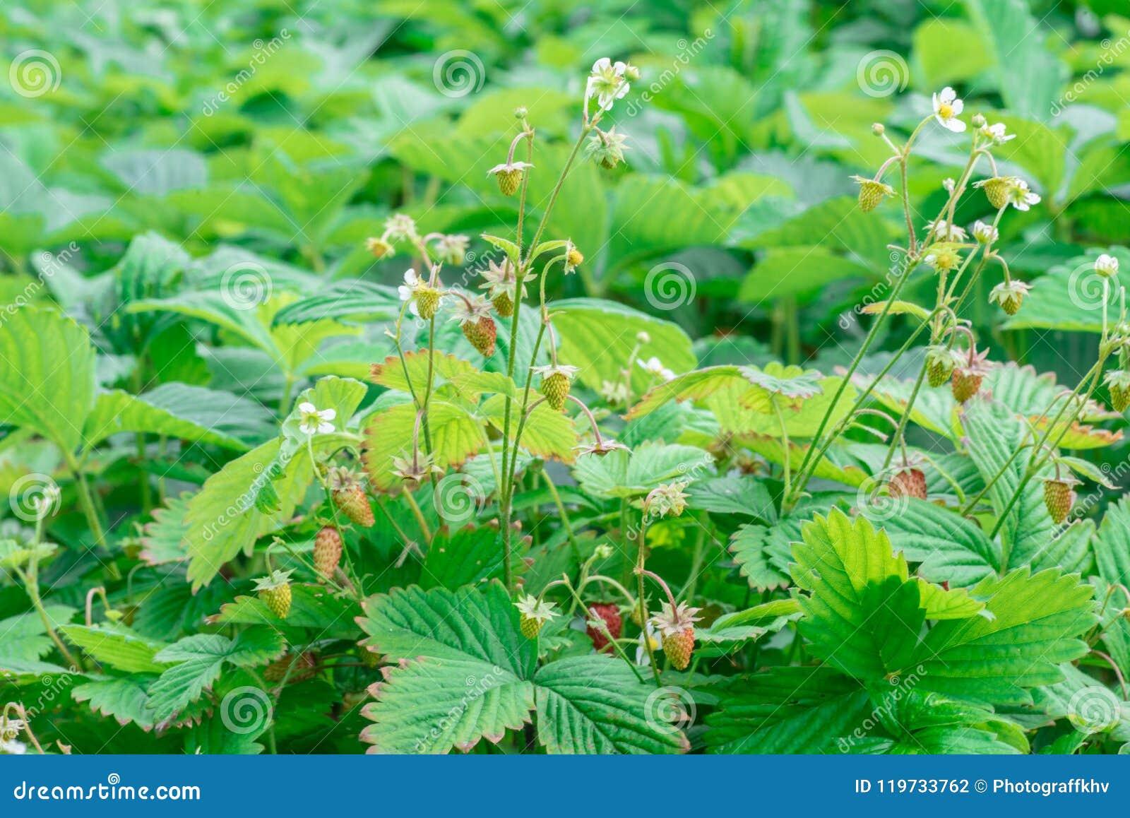 Клубники будучи расти коммерчески на оросительной системе столешницы