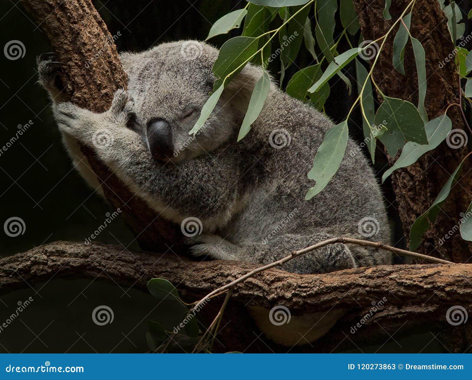 Коала спать среди листьев камеди