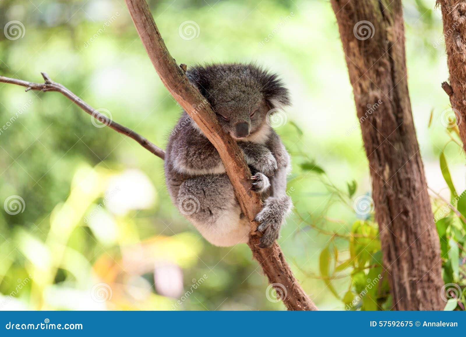 Коала спать на дереве евкалипта, солнечном свете