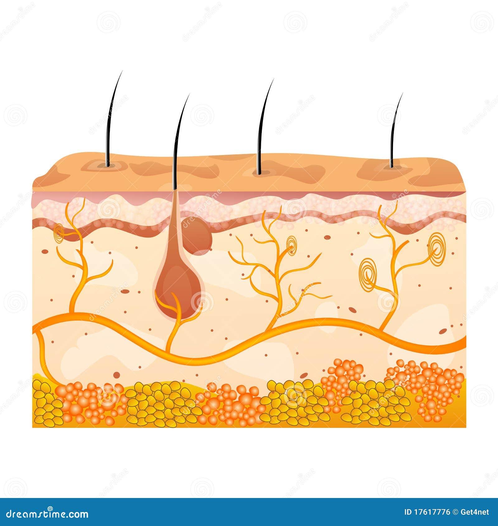 кожа клеток