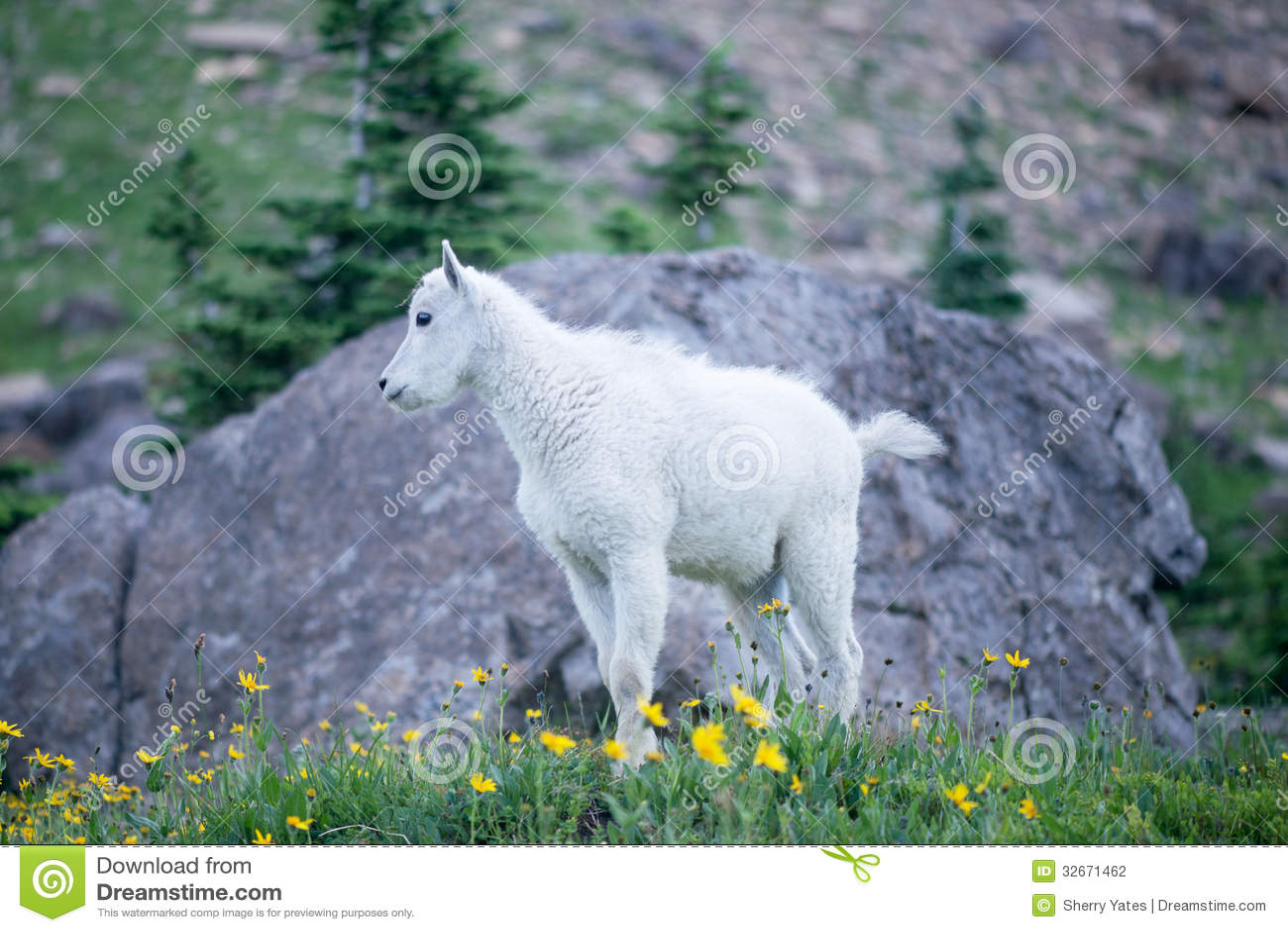 Коза горы младенца