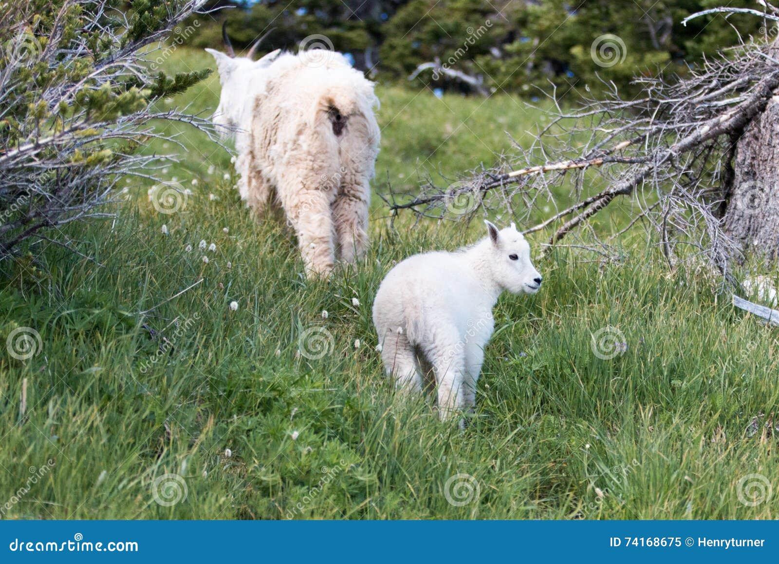 Коза и няня горы ребенк младенца будут матерью взбираться вверх травянистый knoll на холме урагана в олимпийском национальном пар