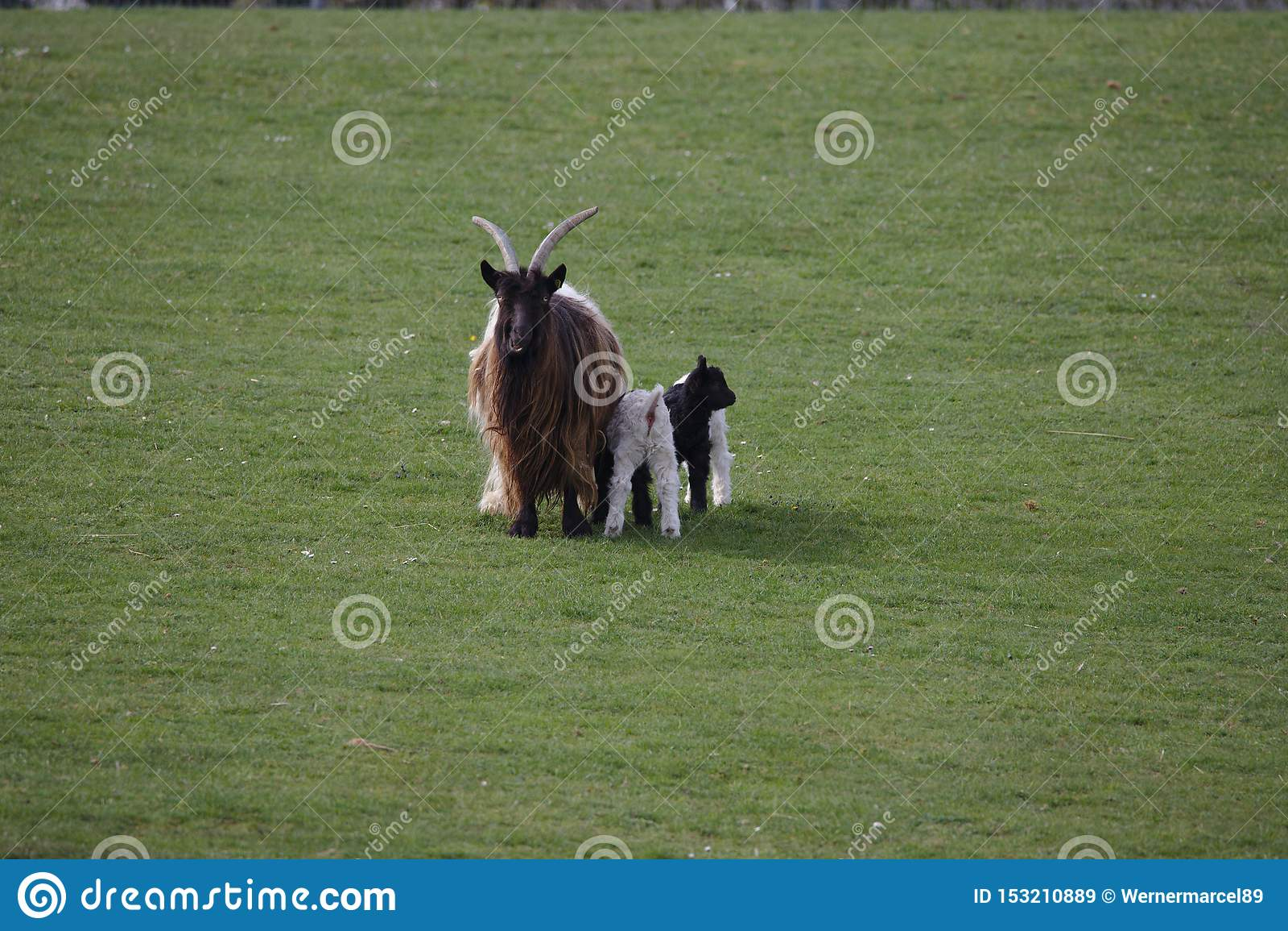 Коза кашемира с 3 детьми