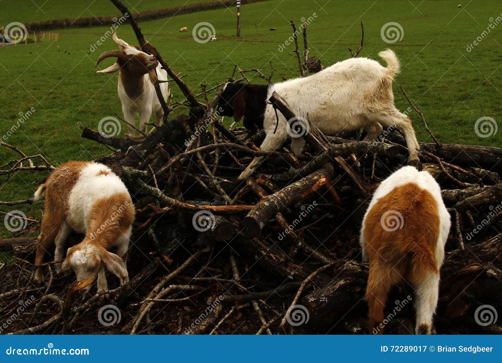 Download Козы наслаждаясь подавать в куче порыва Стоковое Изображение - изображение насчитывающей увиденный, для: 72289017