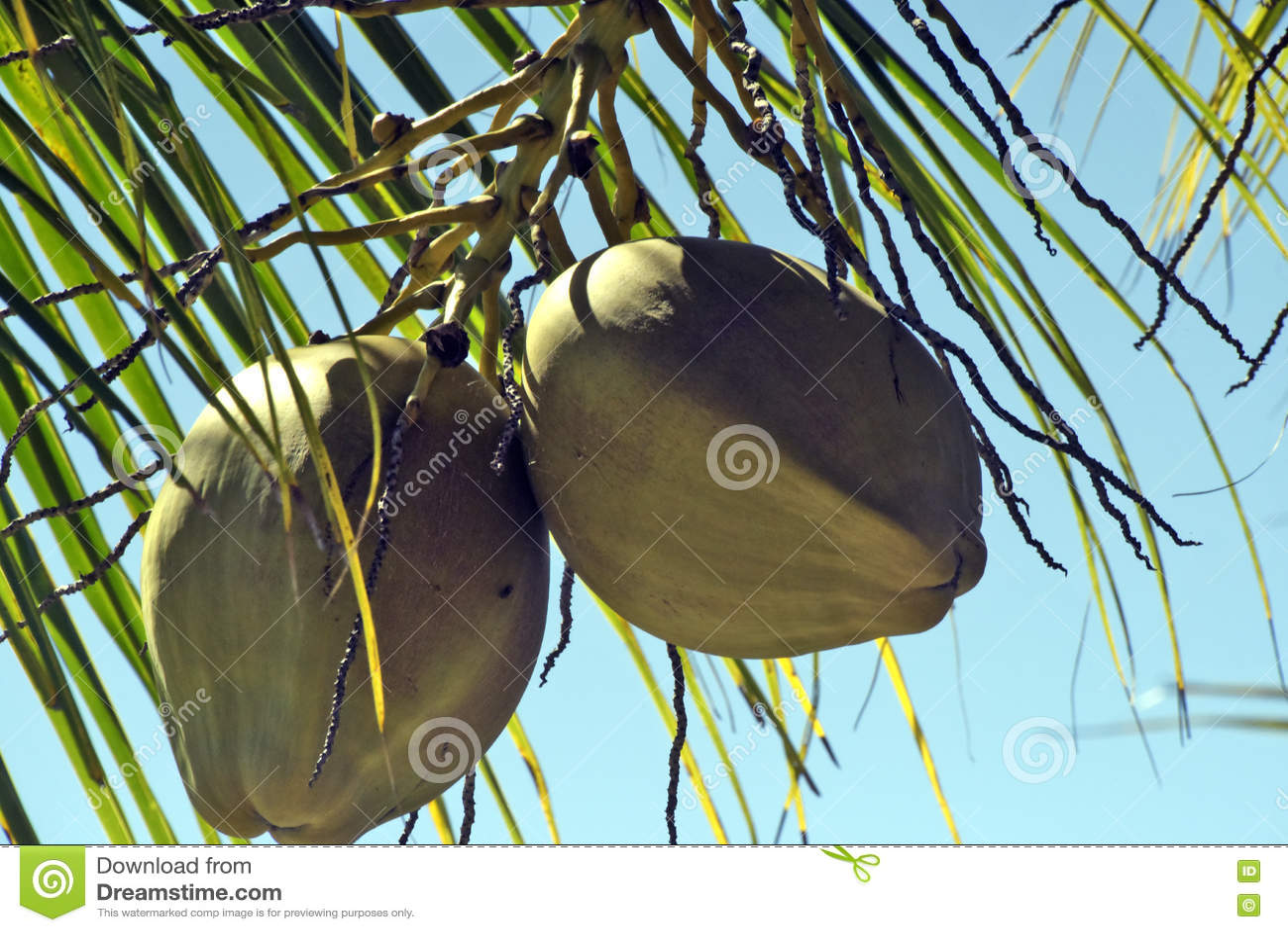 Кокос от Бахи неполовозрелой в дереве
