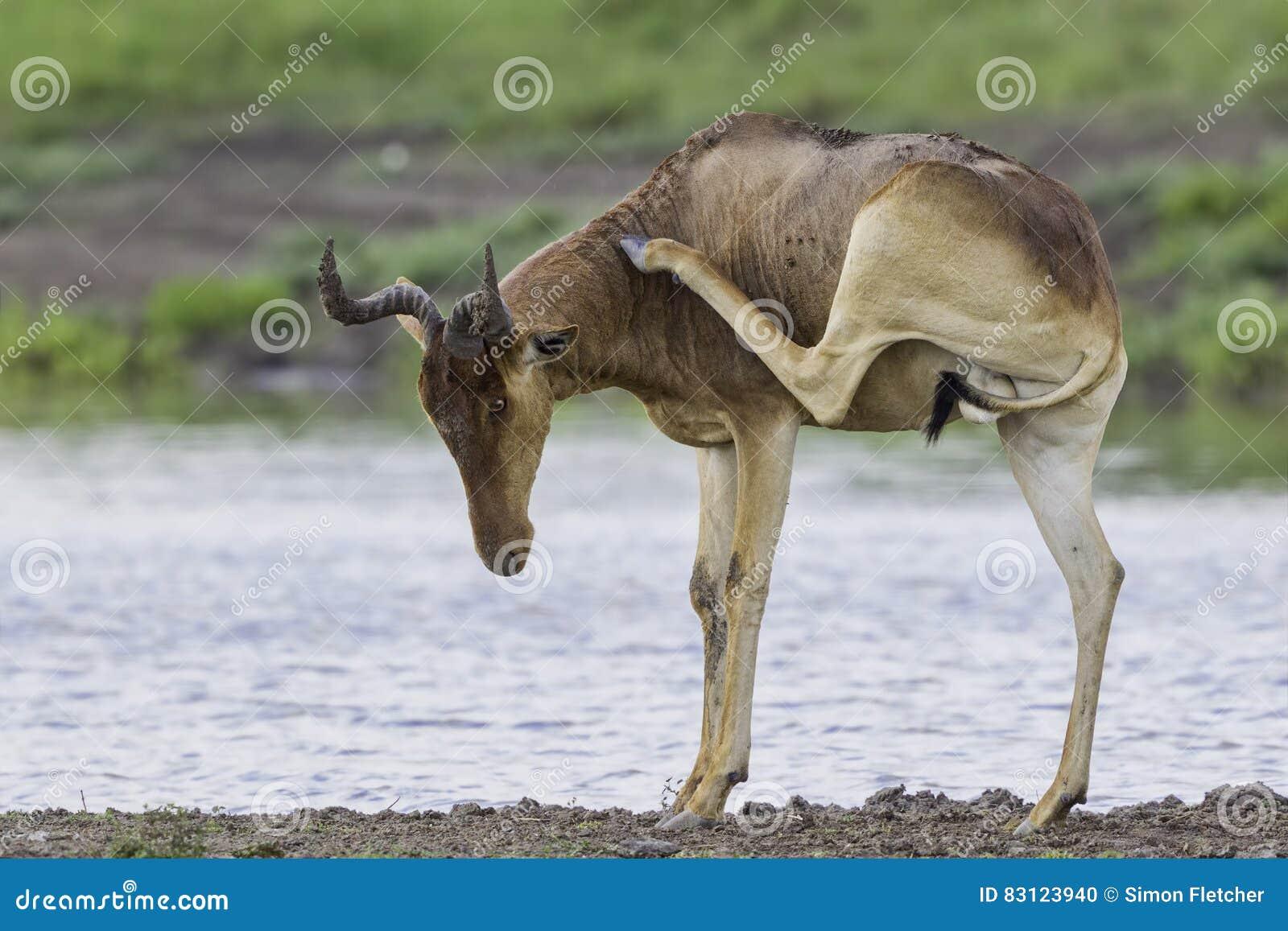 Коксует Hartebeest царапая, национальный парк Найроби, Кению
