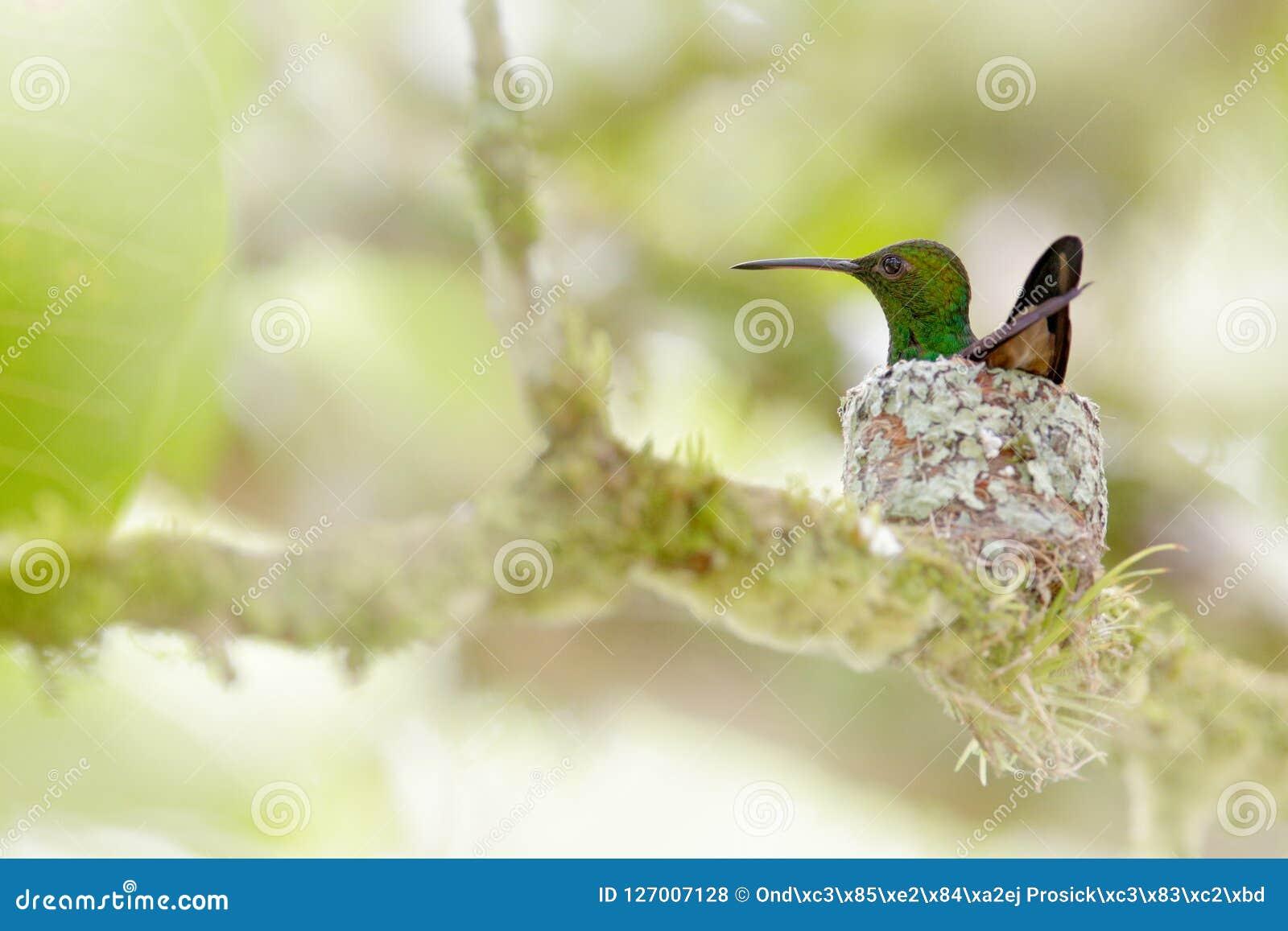 Колибри сидя на яичках в гнезде, Тринидад и Тобаго Колибри меди-rumped, tobaci Amazilia, на дереве, wildlif