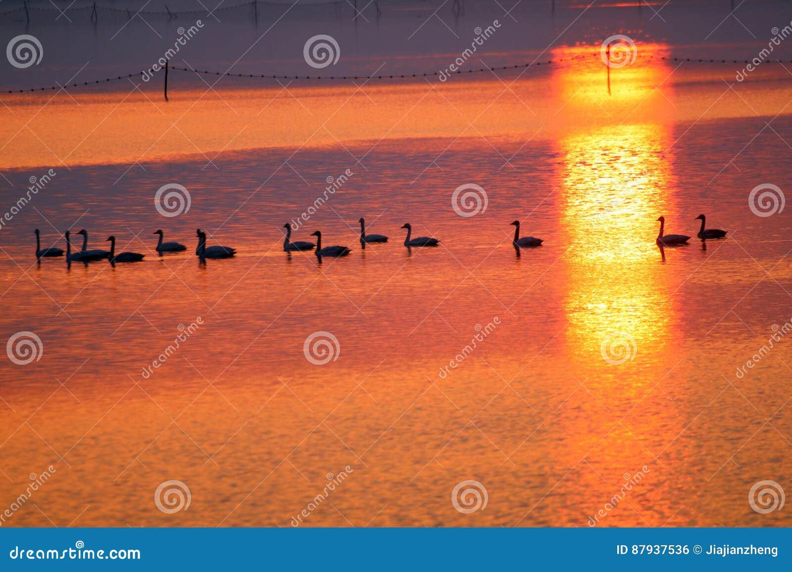 Команда лебедей в заходе солнца