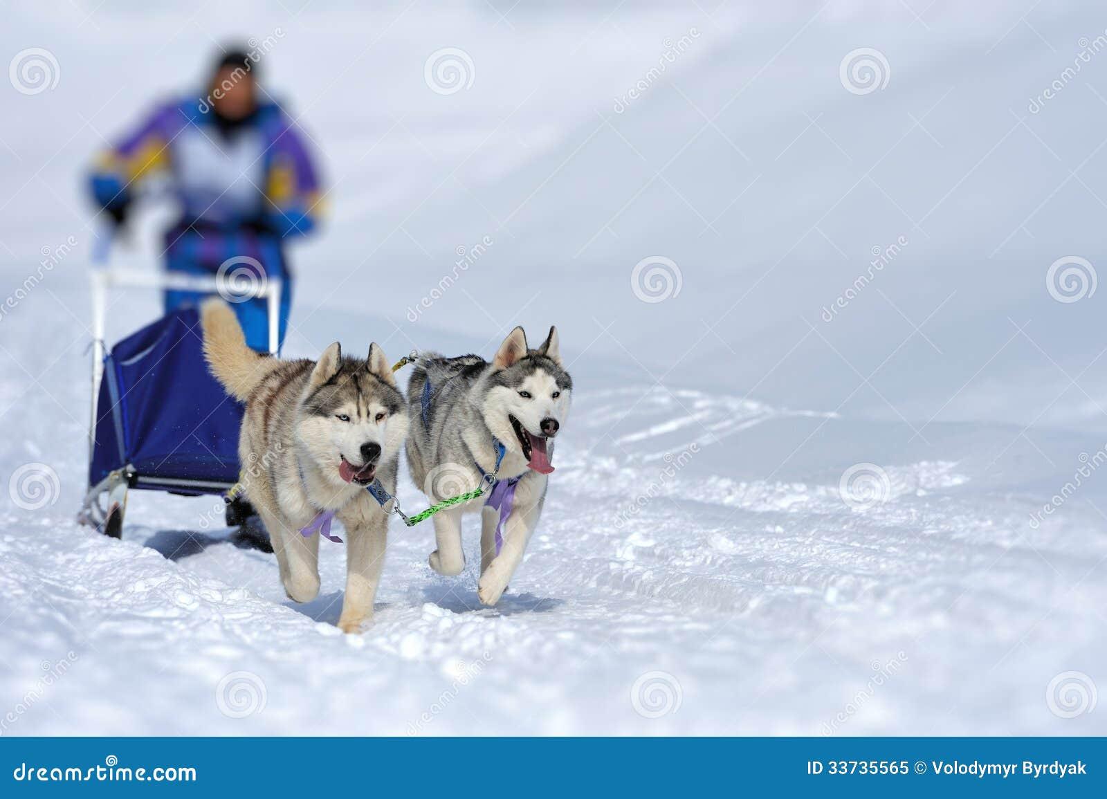 Команда сибирских собак скелетона