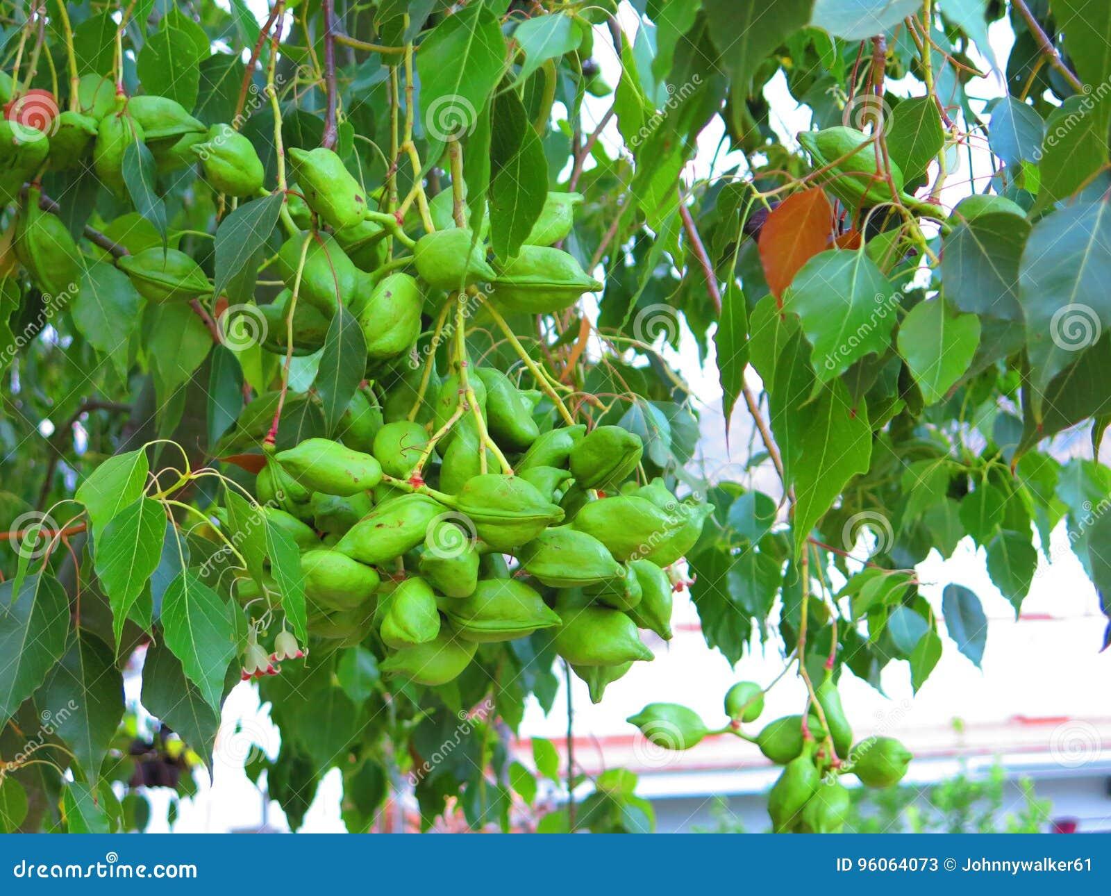 Комок зеленых seedpods на неизвестном дереве