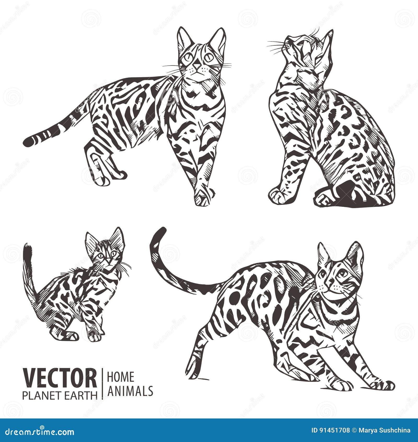 сына бенгальский кот картинки раскраски ати