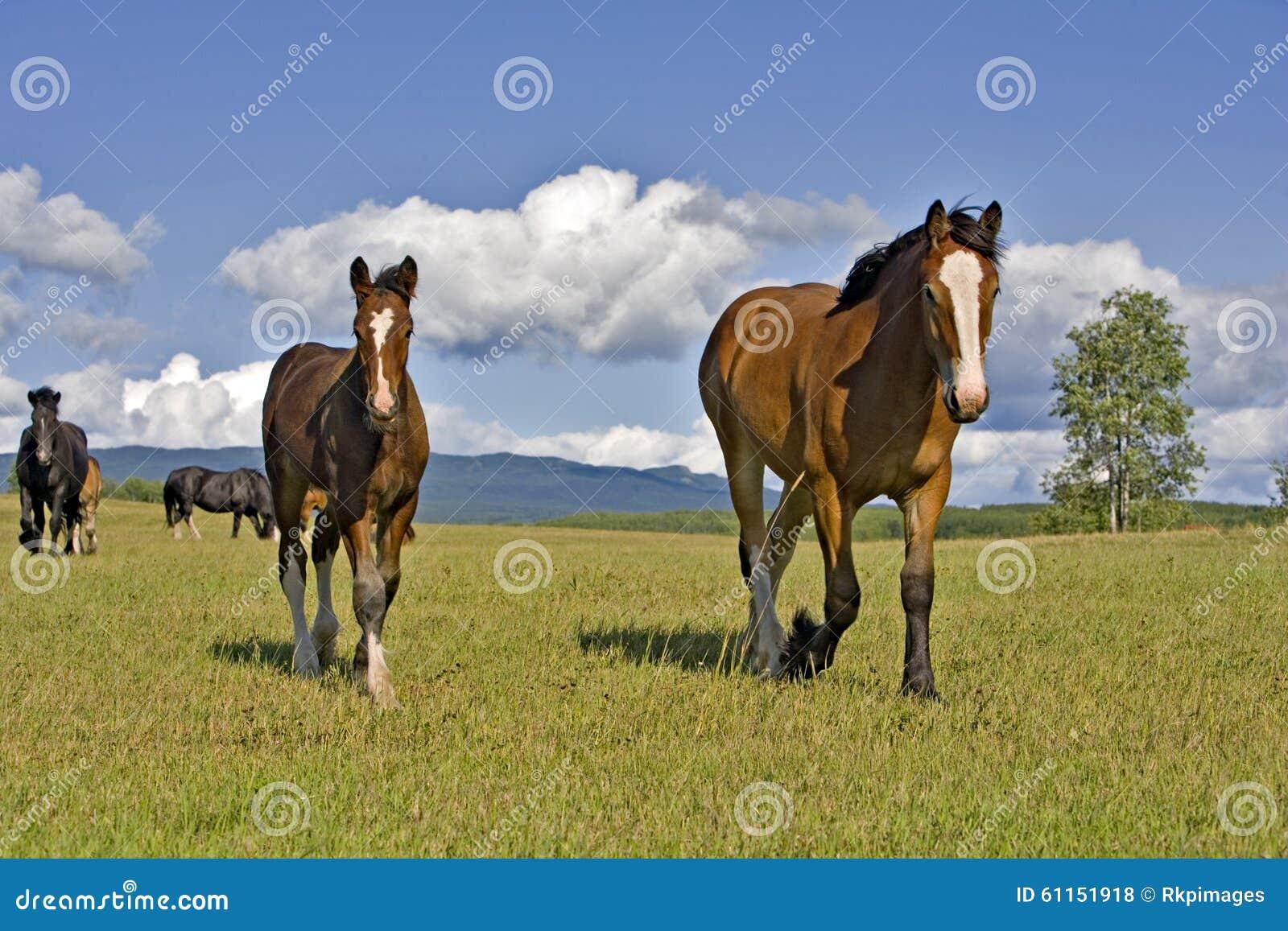 Конематка и осленок лошади графства