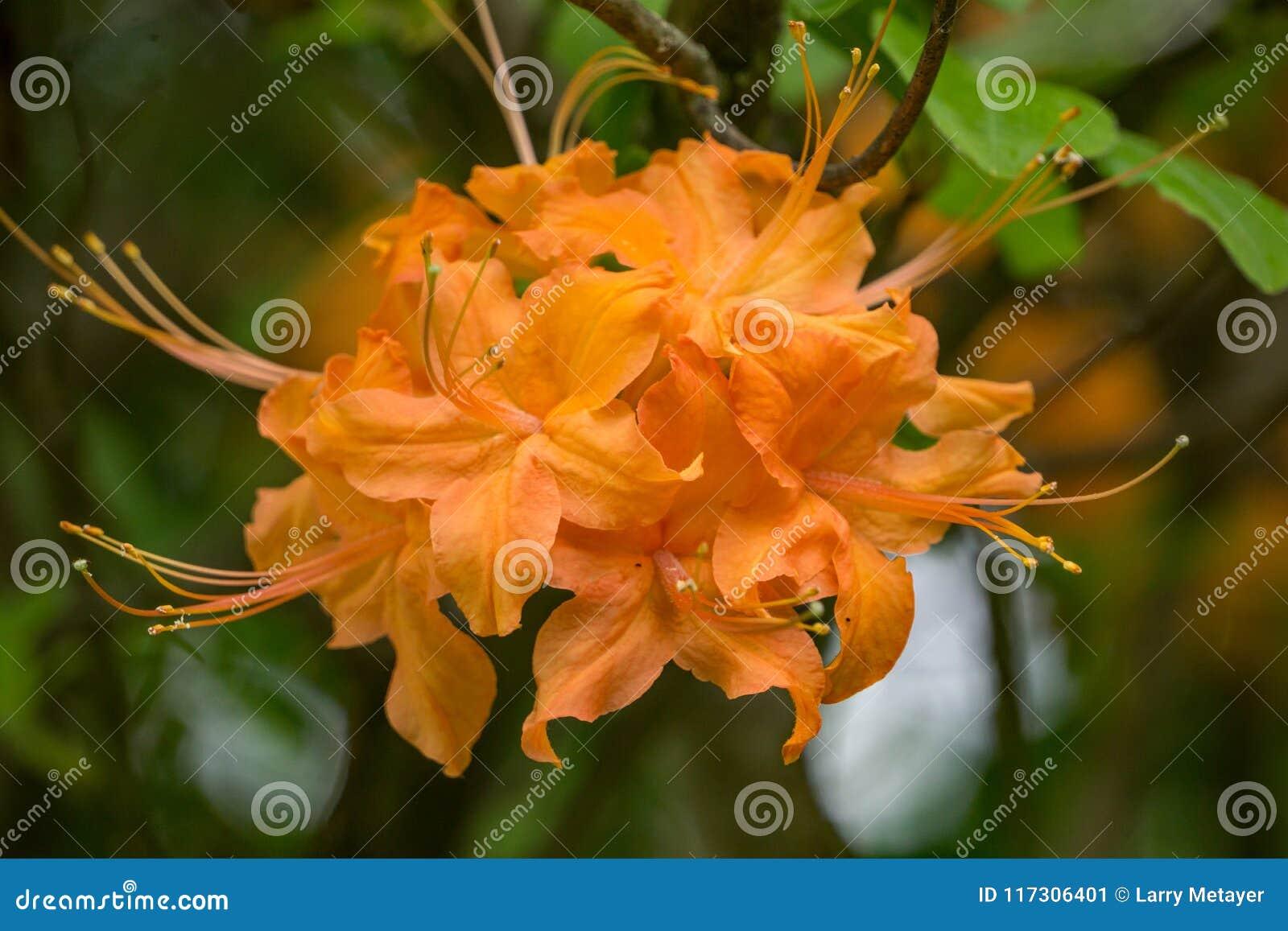 Конец-вверх азалии пламени цветет calendulaceum рододендрона †«