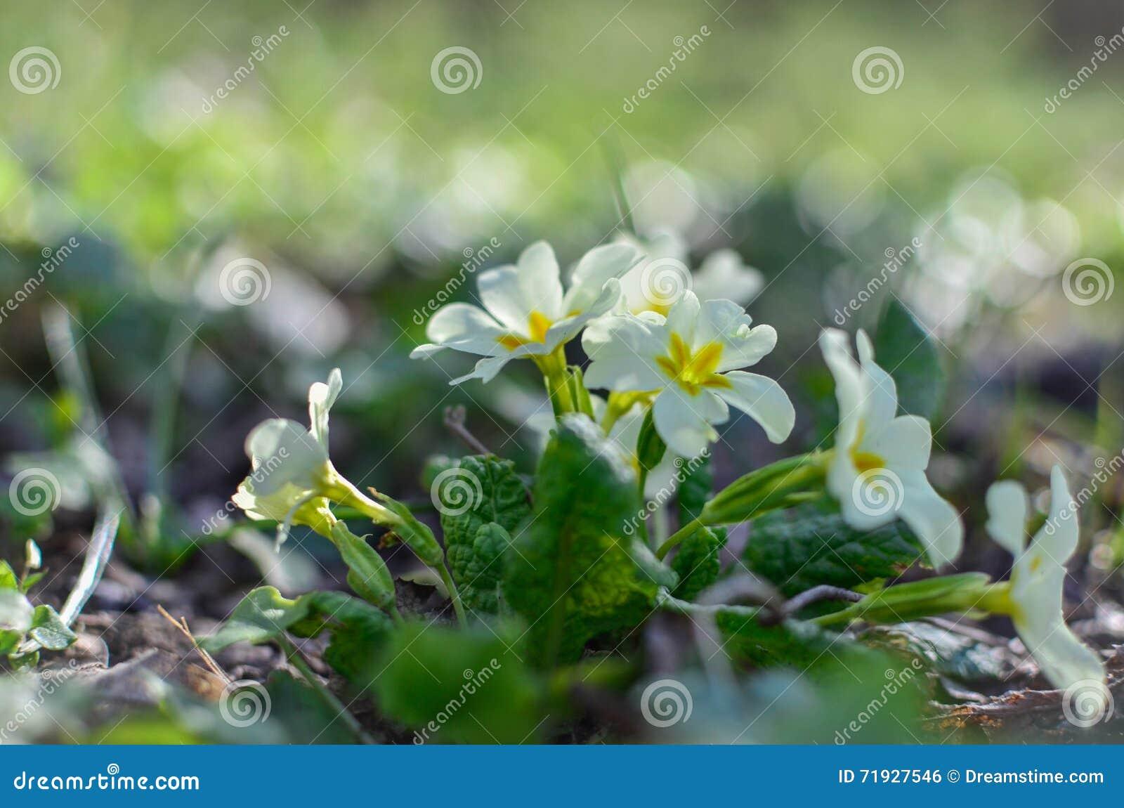 Конец-вверх белых цветков весной