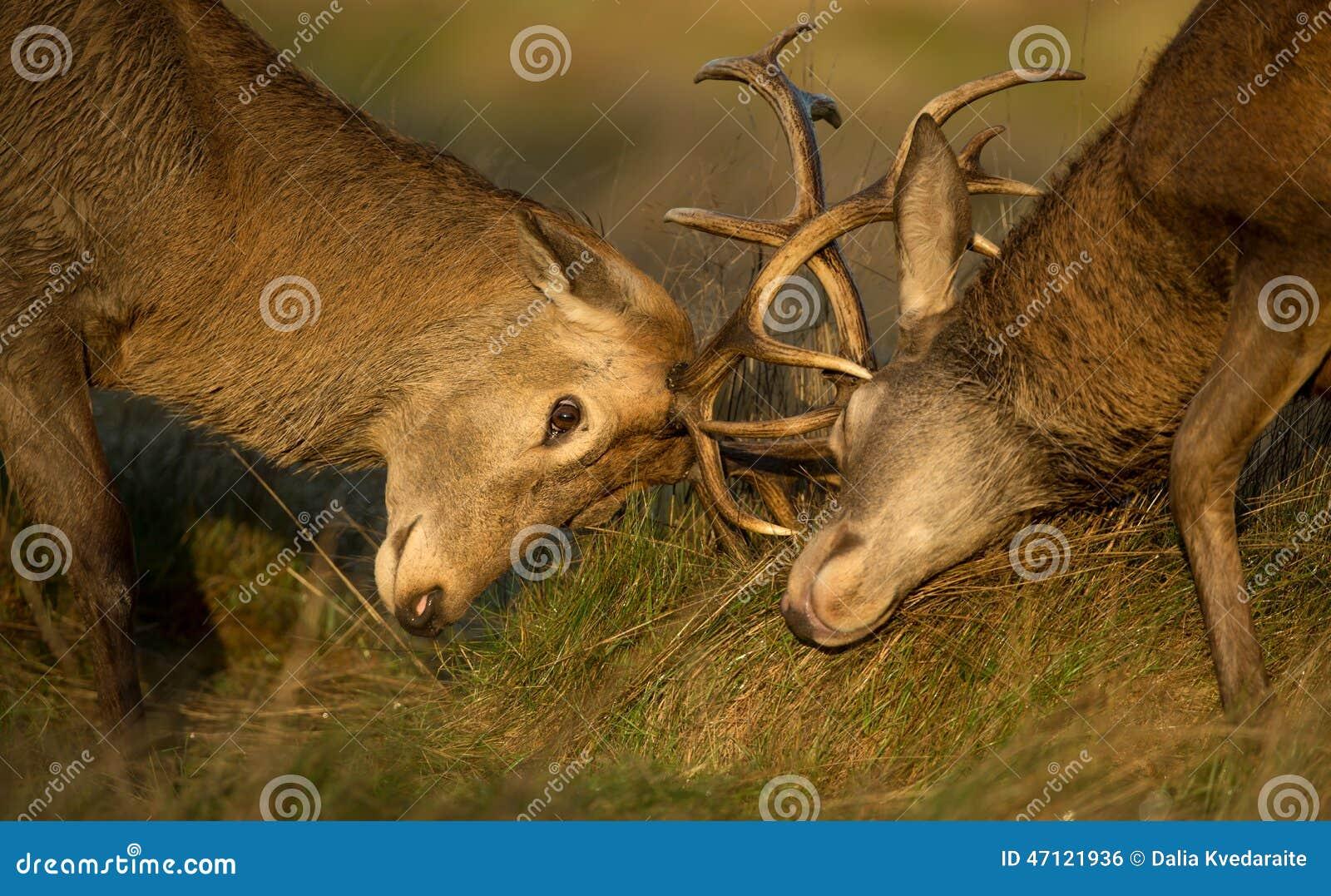 Конец-вверх боя рогача красных оленей