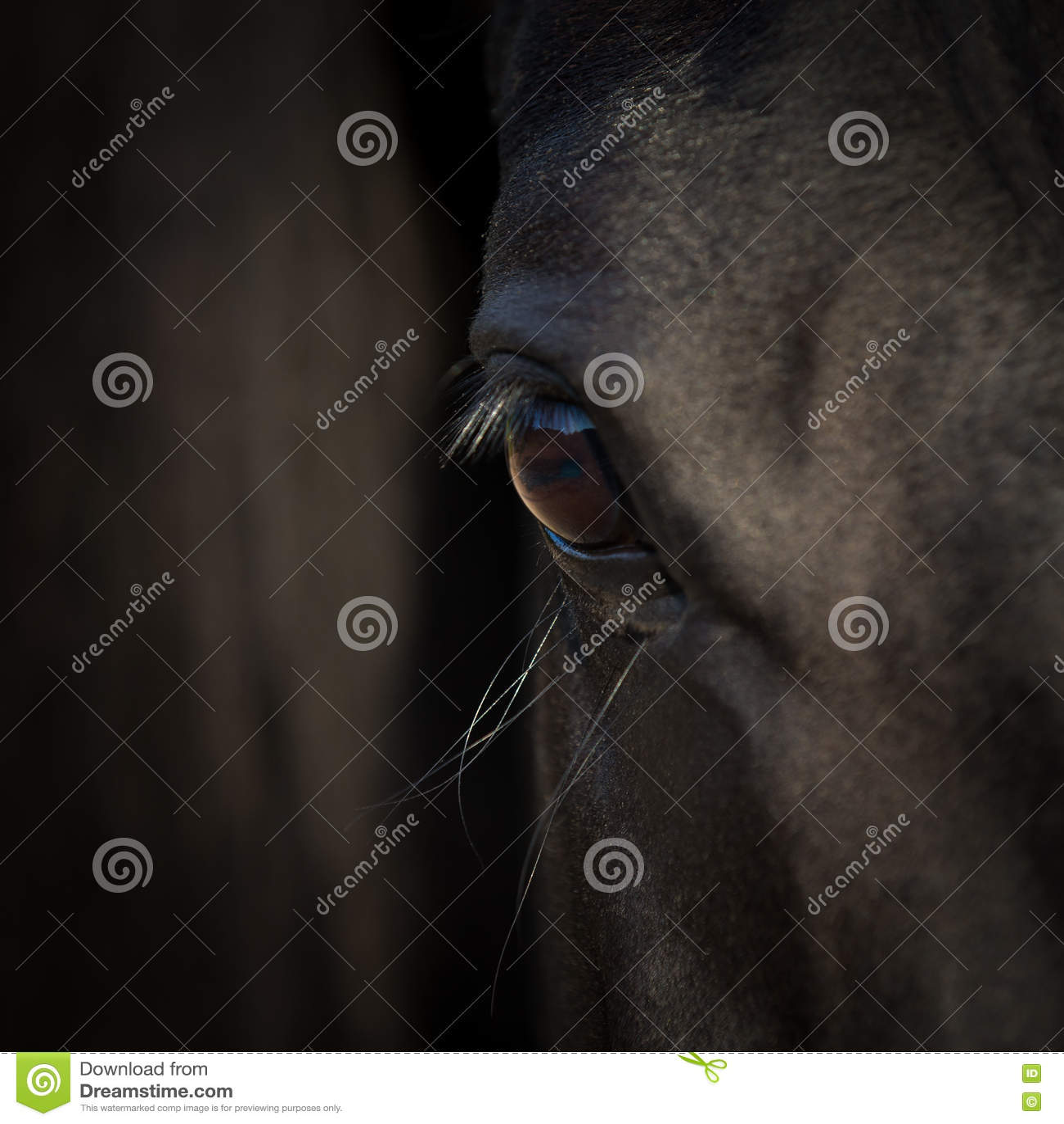 Конец-вверх глаза лошади Аравийская черная голова лошади Деталь лошади на темной предпосылке