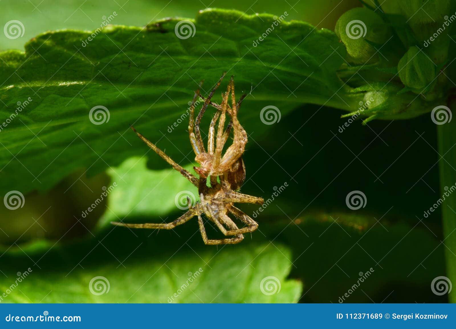Конец-вверх детеныша увял Arachnida паук-волка сидя под a