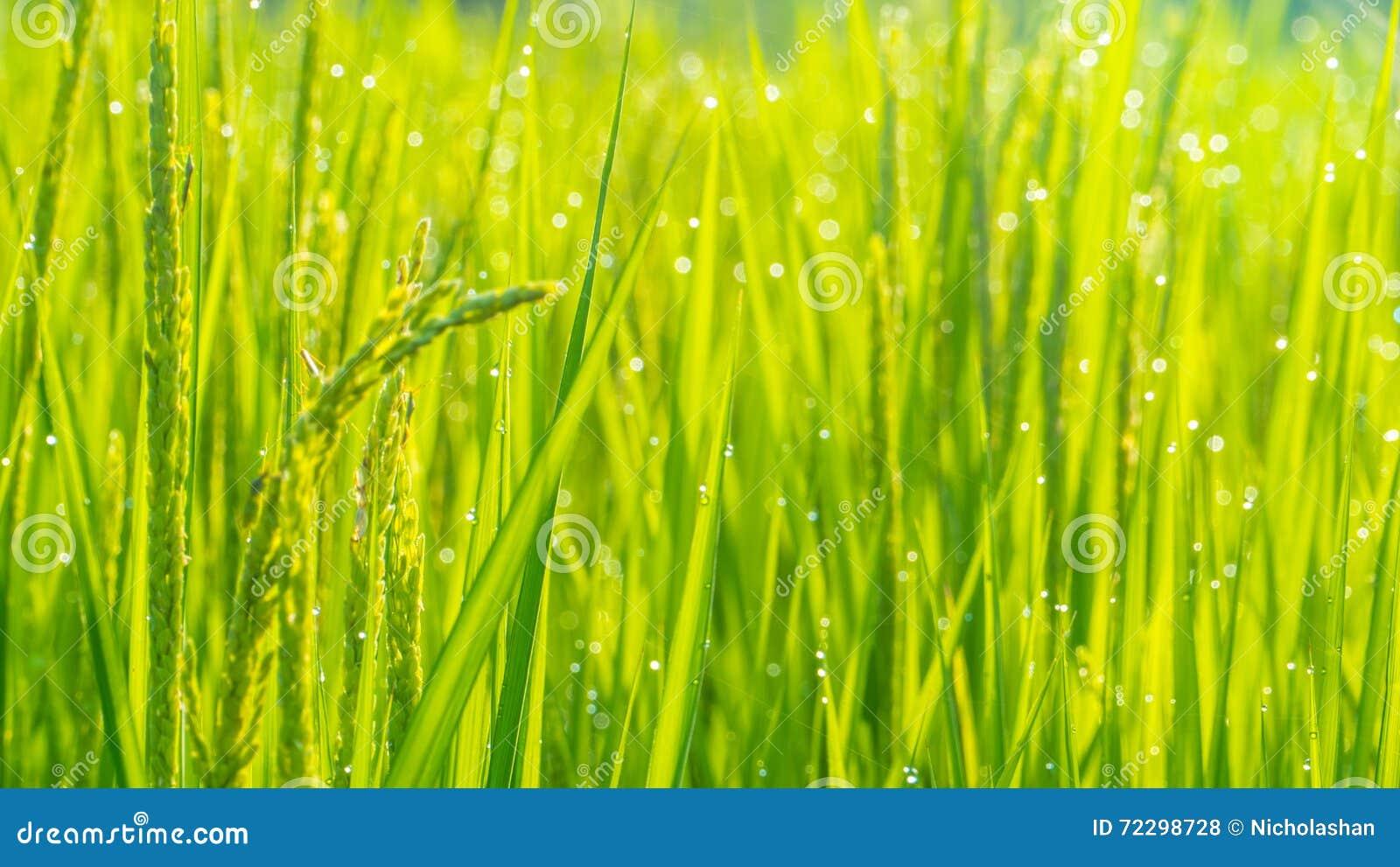 Download Конец вверх зеленых неочищенных рисов Зеленое ухо риса в неочищенных рисах Fi Стоковое Фото - изображение насчитывающей экономия, green: 72298728