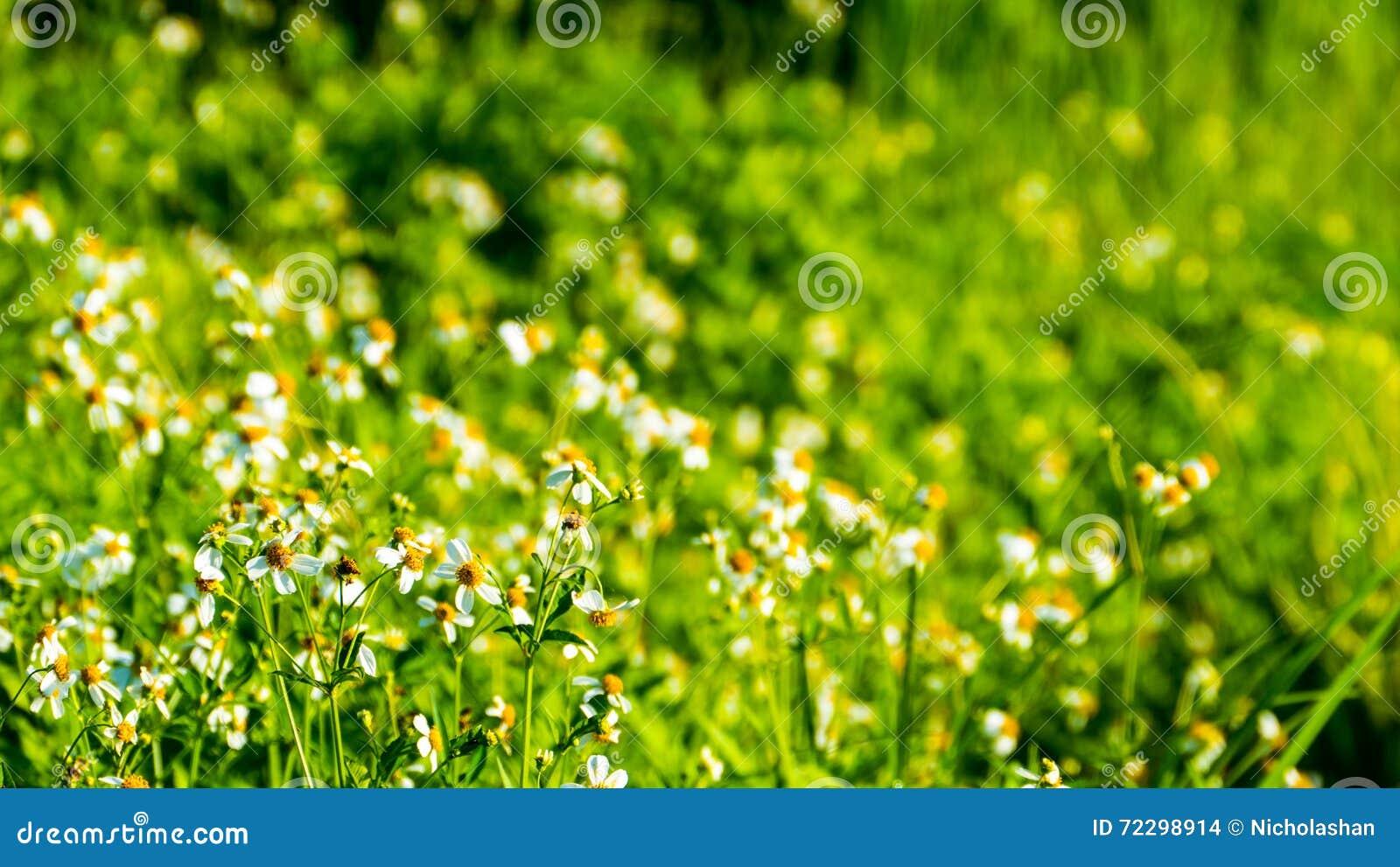 Download Конец вверх зеленых неочищенных рисов Зеленое ухо риса в неочищенных рисах Fi Стоковое Фото - изображение насчитывающей идиллично, бирма: 72298914