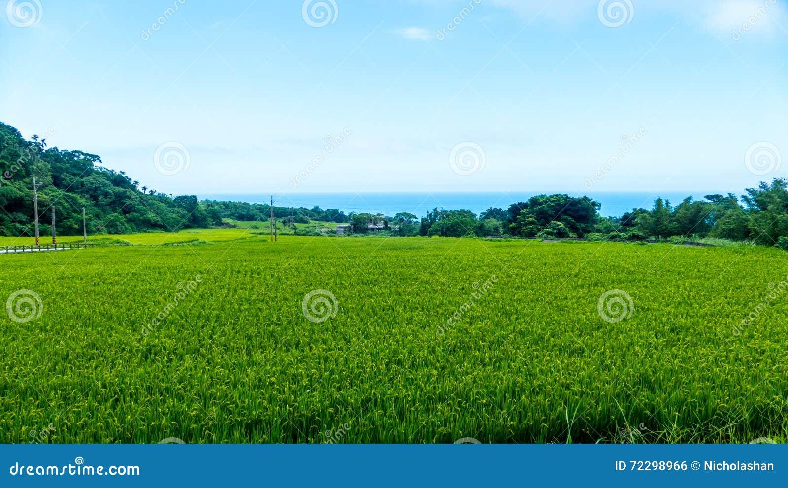 Download Конец вверх зеленых неочищенных рисов Зеленое ухо риса в неочищенных рисах Fi Стоковое Фото - изображение насчитывающей лаос, пепельнообразные: 72298966