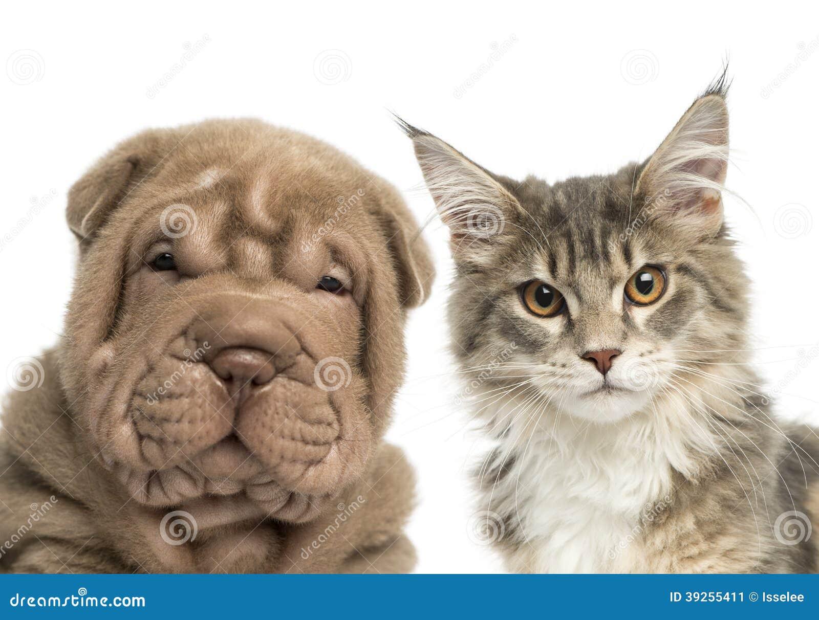 Конец-вверх котенка енота Мейна и щенка Shar Pei