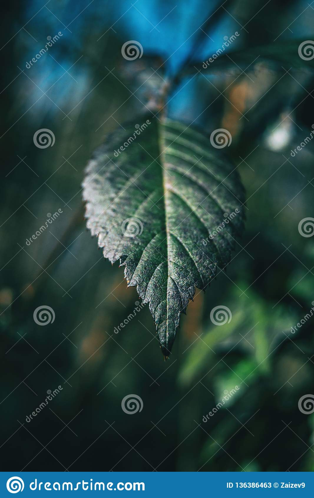 Конец-вверх лист ulmifolius рубуса