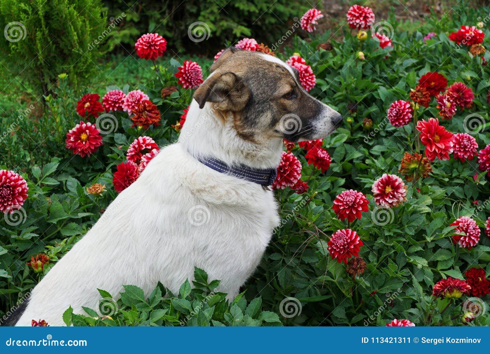 Конец-вверх молодой белой и коричневой собаки сидя в красных георгинах