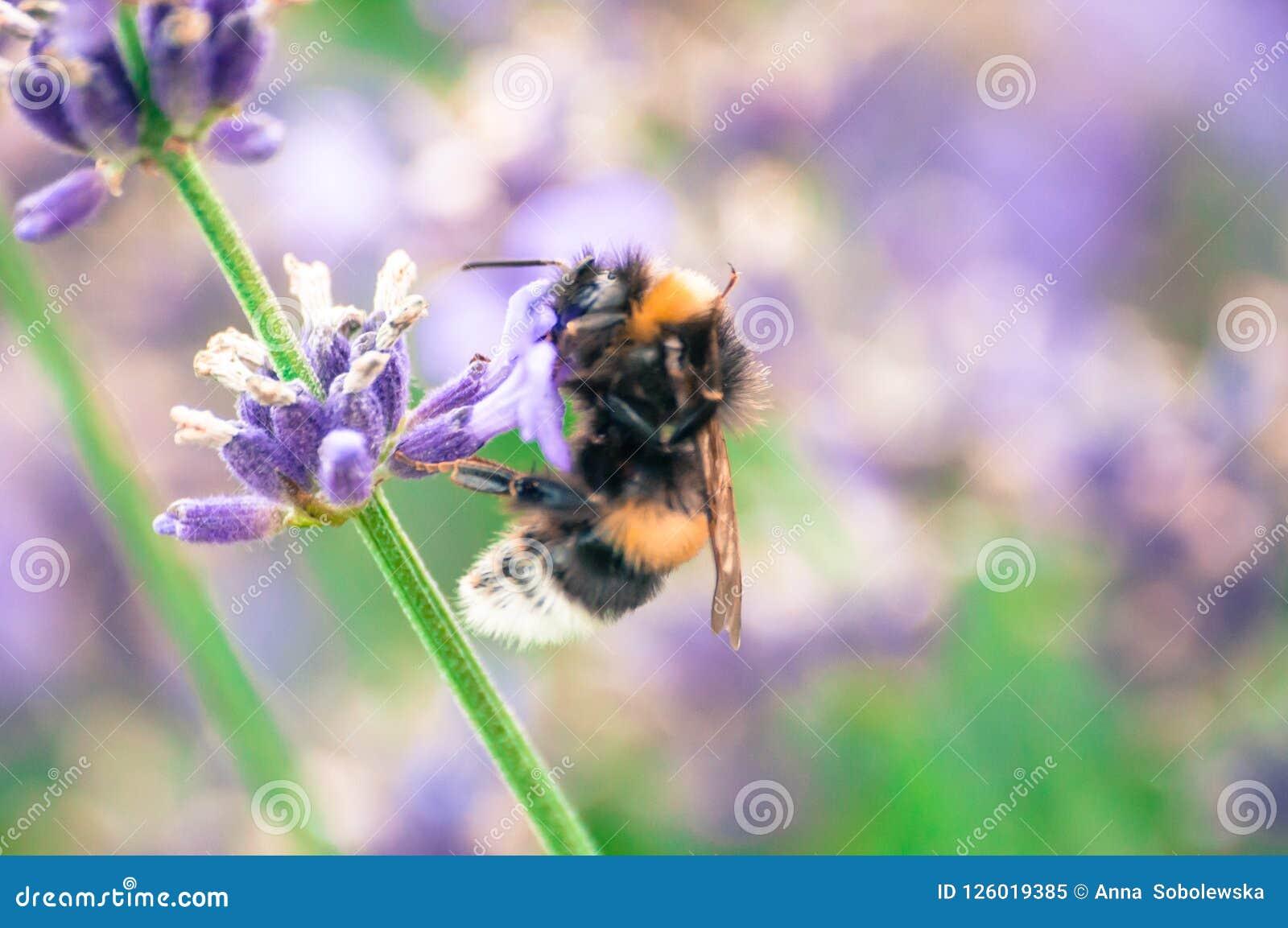 Конец-вверх нектара шмеля выпивая от wildflower