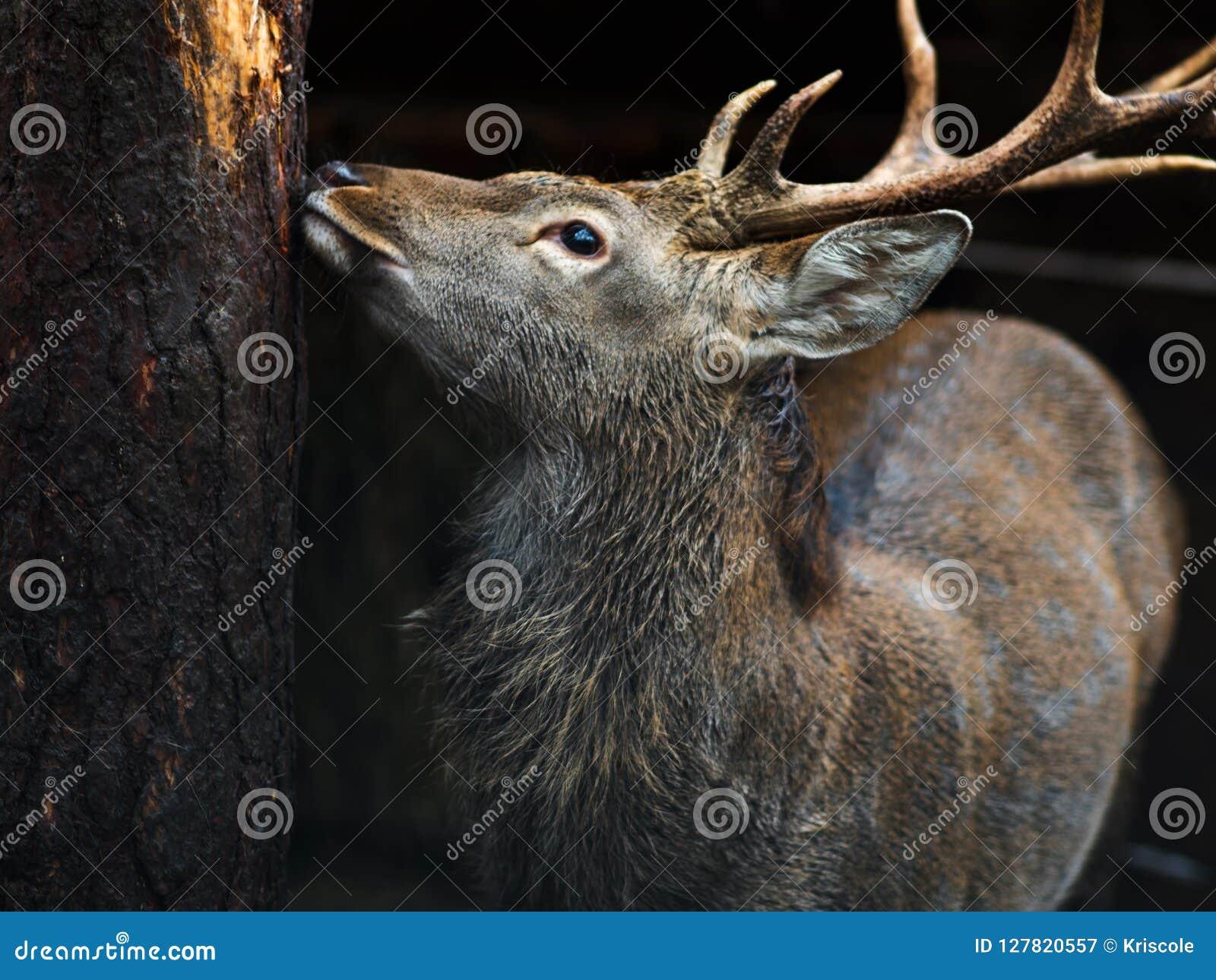 Конец-вверх оленей, красивый молодой олень с рожками