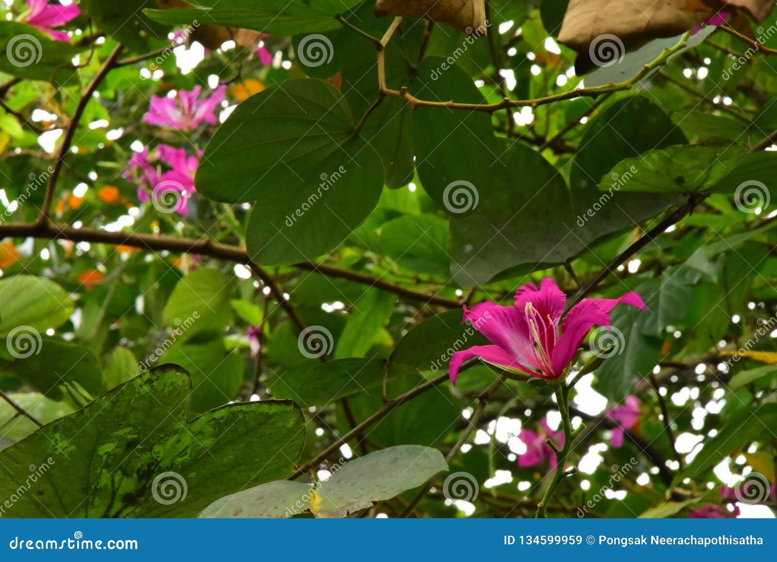 Конец вверх по красивым зацветая розовым цветкам Purpurea Bauhinia