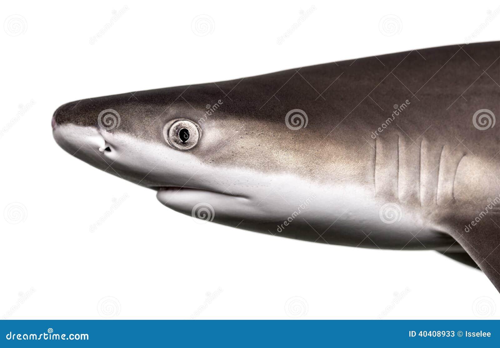 Конец-вверх профиля акулы рифа Blacktip