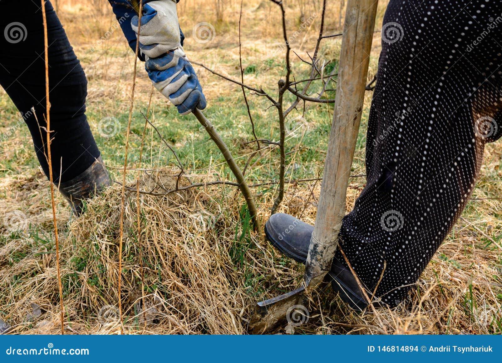 Конец-вверх, садовники весной пробует извлечь сухое дерево, вытягивая вне свои корни с лопаткоулавливателем в большой сухой траве