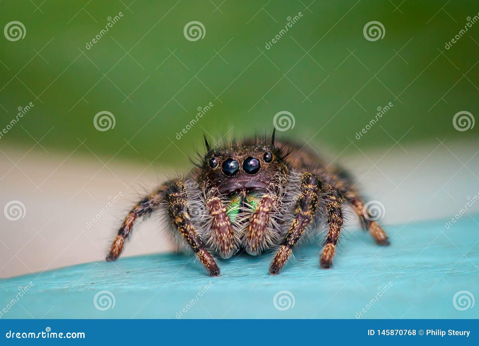 Конец-вверх скача паука
