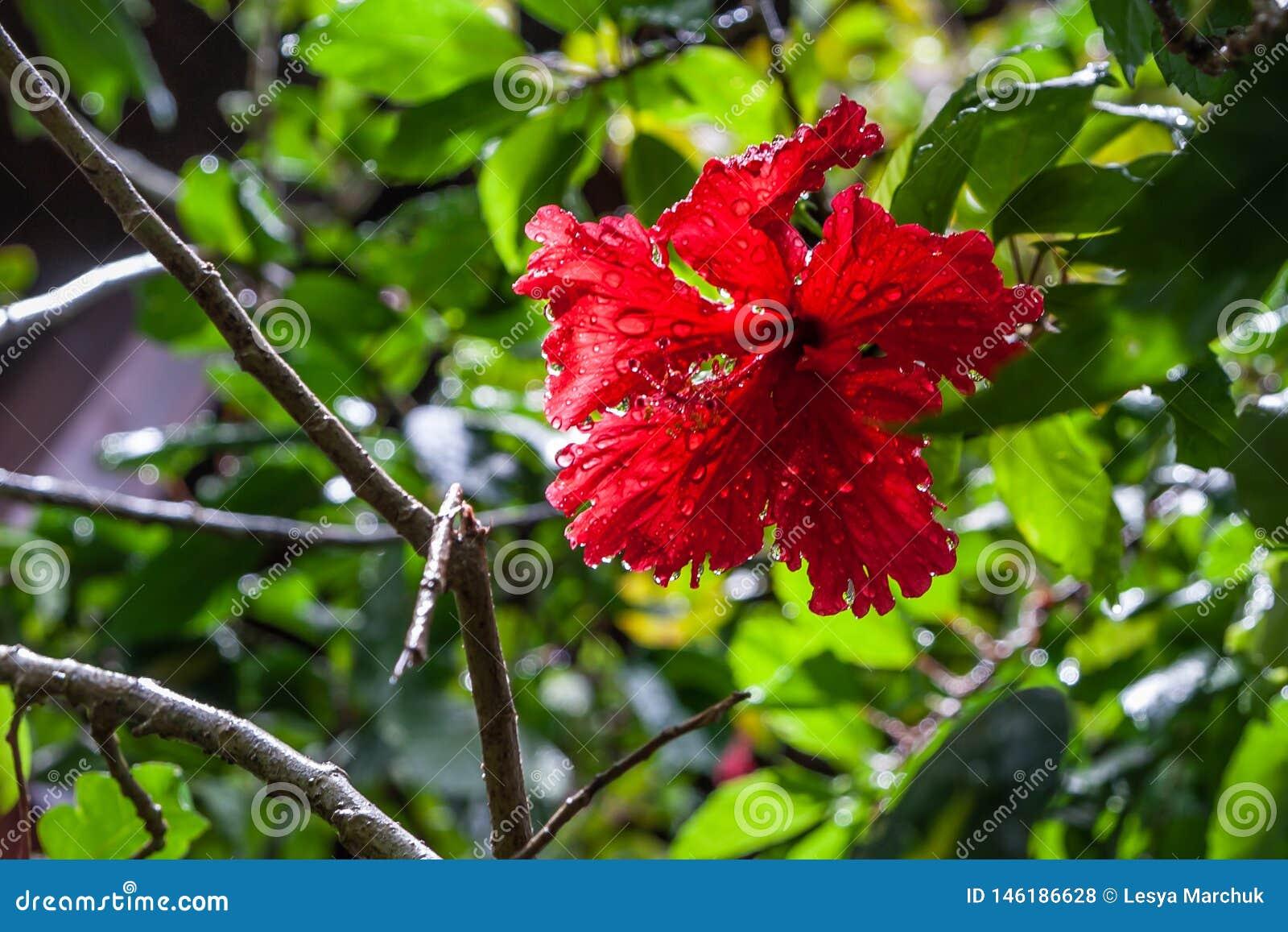 Конец-вверх цветка гибискуса на зеленой предпосылке