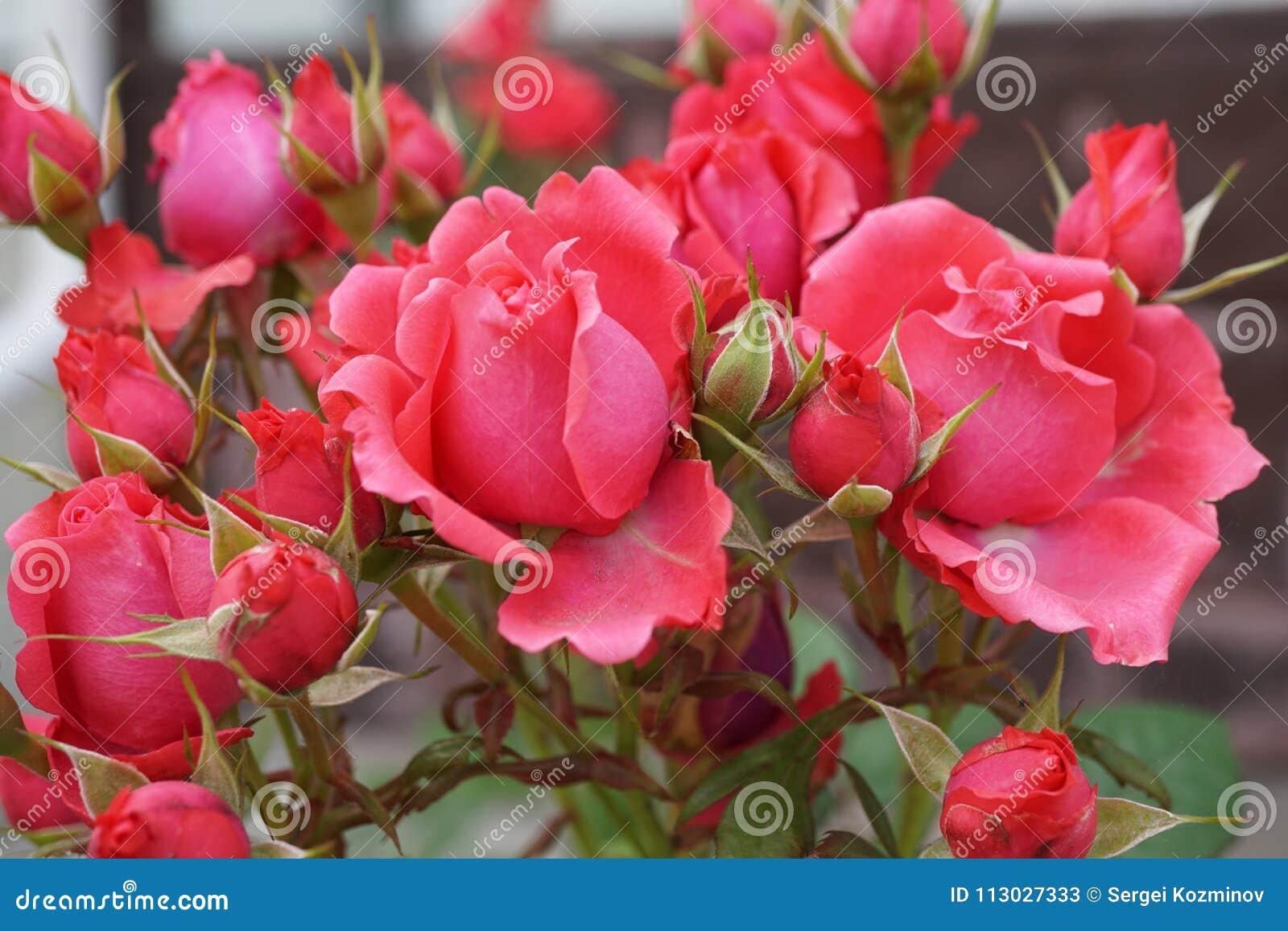 Конец-вверх цветков и бутонов розового розового разнообразия