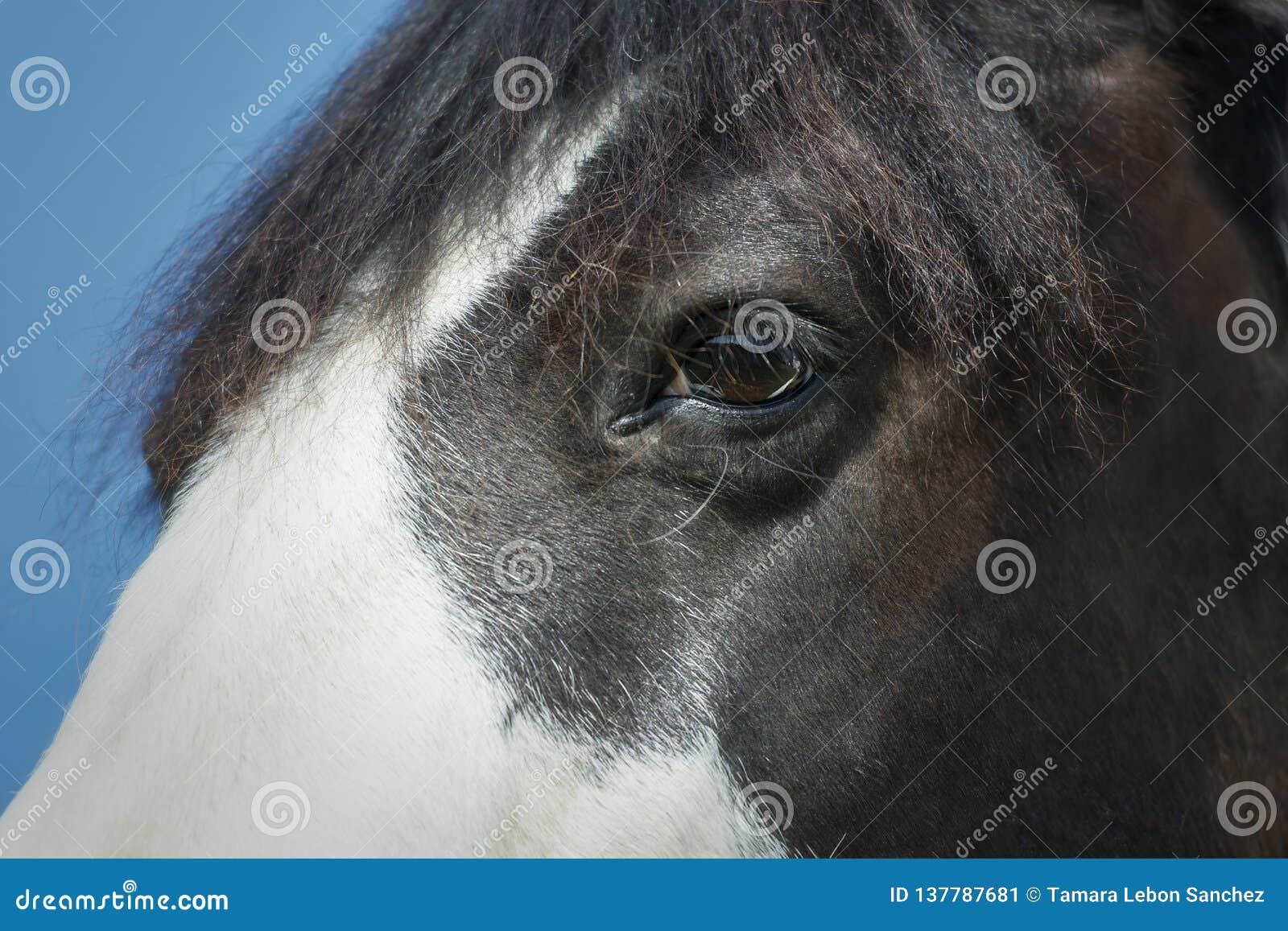 Конец-вверх черно-белого глаза лошади краски