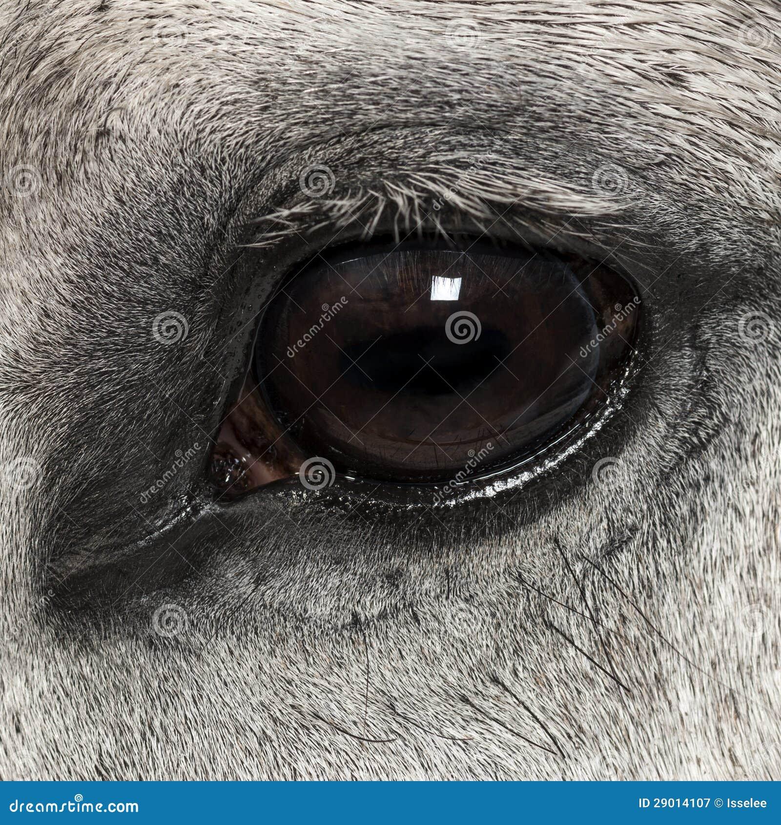 Конец-вверх Andalusian глаза, 7 лет старых, также известного как чисто испанская лошадь