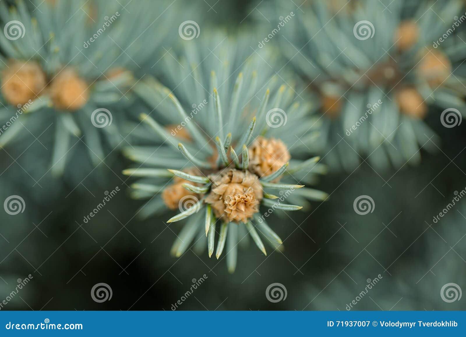 конец ветви spruce вверх