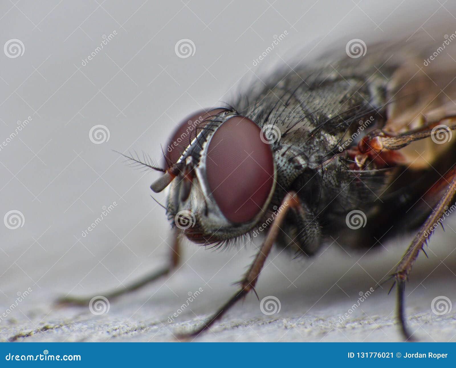 Конец макроса вверх по съемке детали общей мухы дома с большими красными глазами принятыми в Великобританию