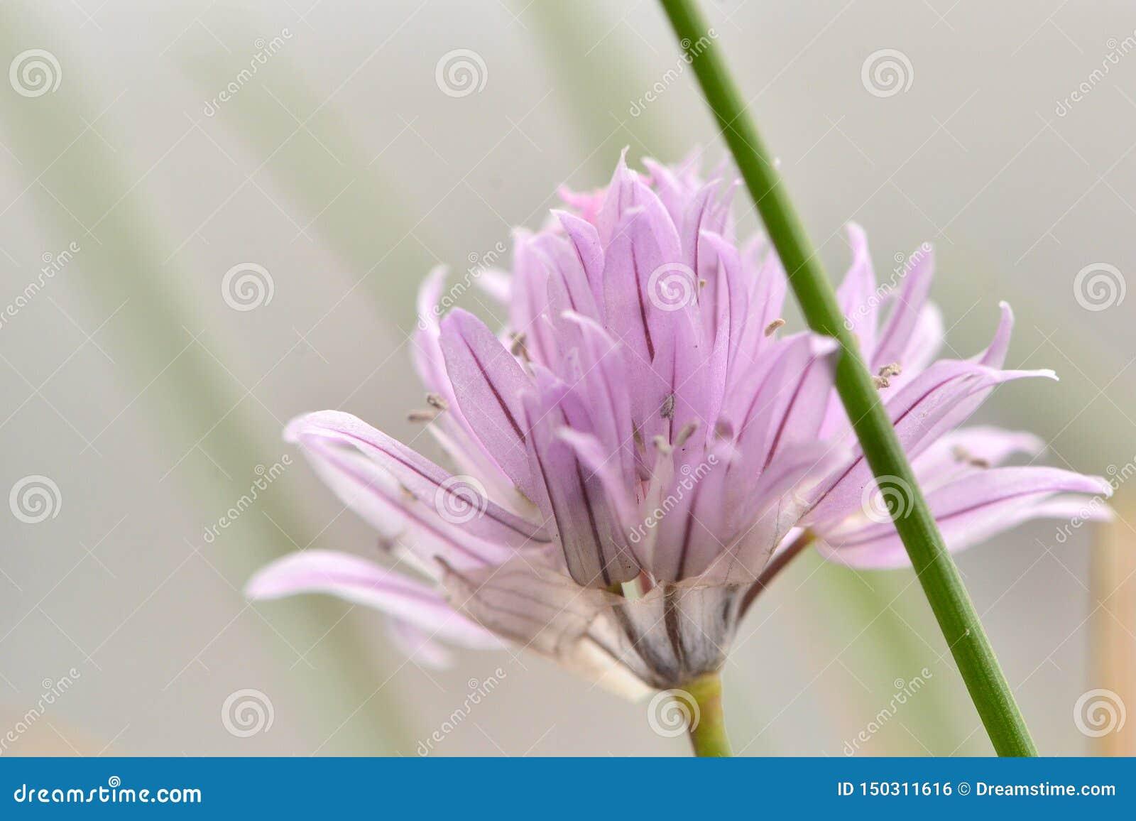 Конец цветка Chives пурпурный вверх