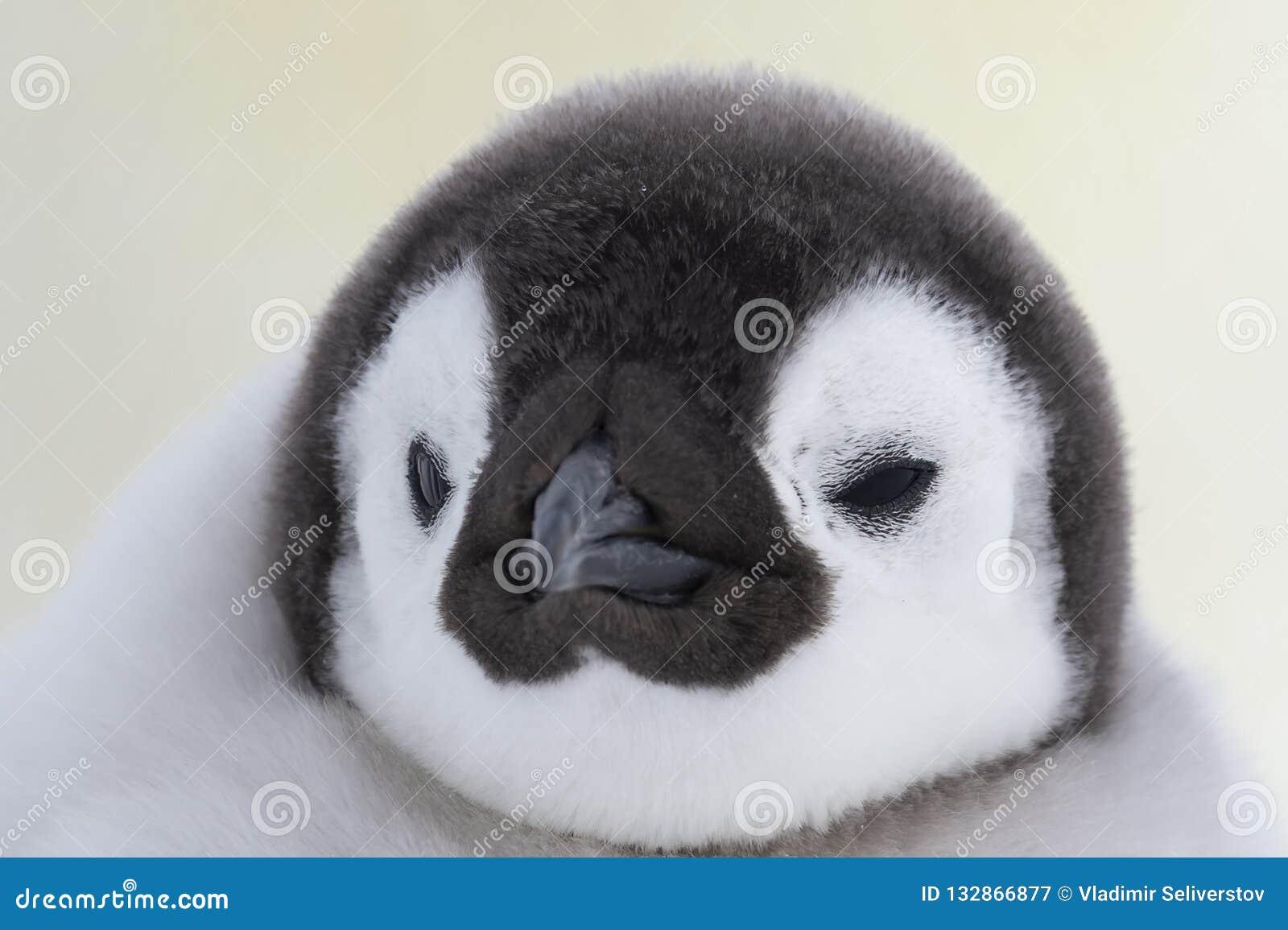 Конец цыпленока пингвина императора вверх
