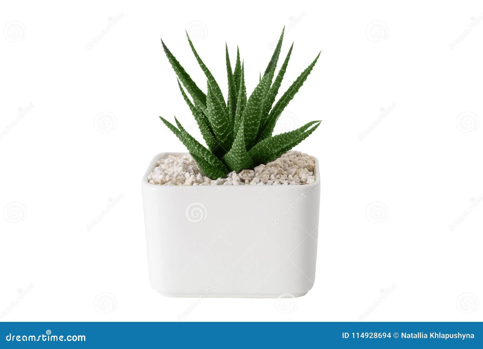 Конец succulent Haworthia вверх в белом баке Изолировано на белизне