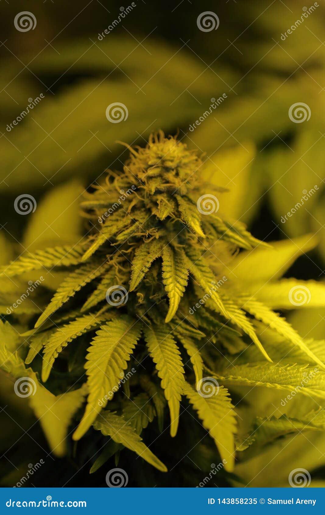 Конопля смолы марихуана и бодибилдингом